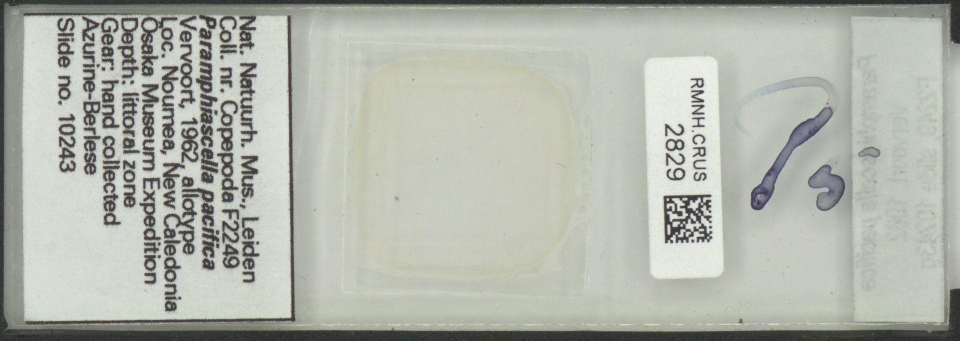 RMNH.CRUS.2829 | Paramphiascella pacifica Vervoort, 1962