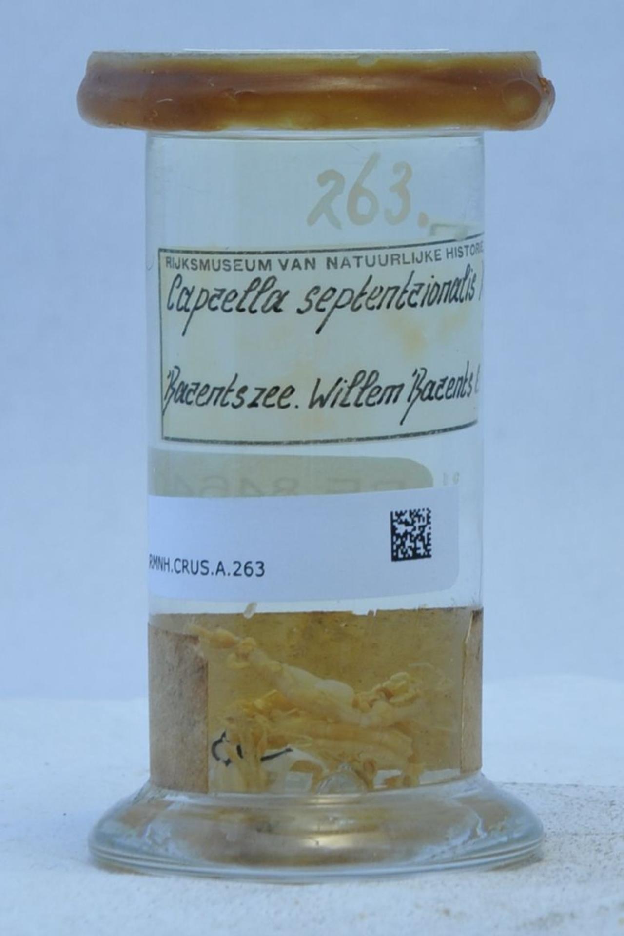 RMNH.CRUS.A.263 | Caprella septentrionalis Kröyer