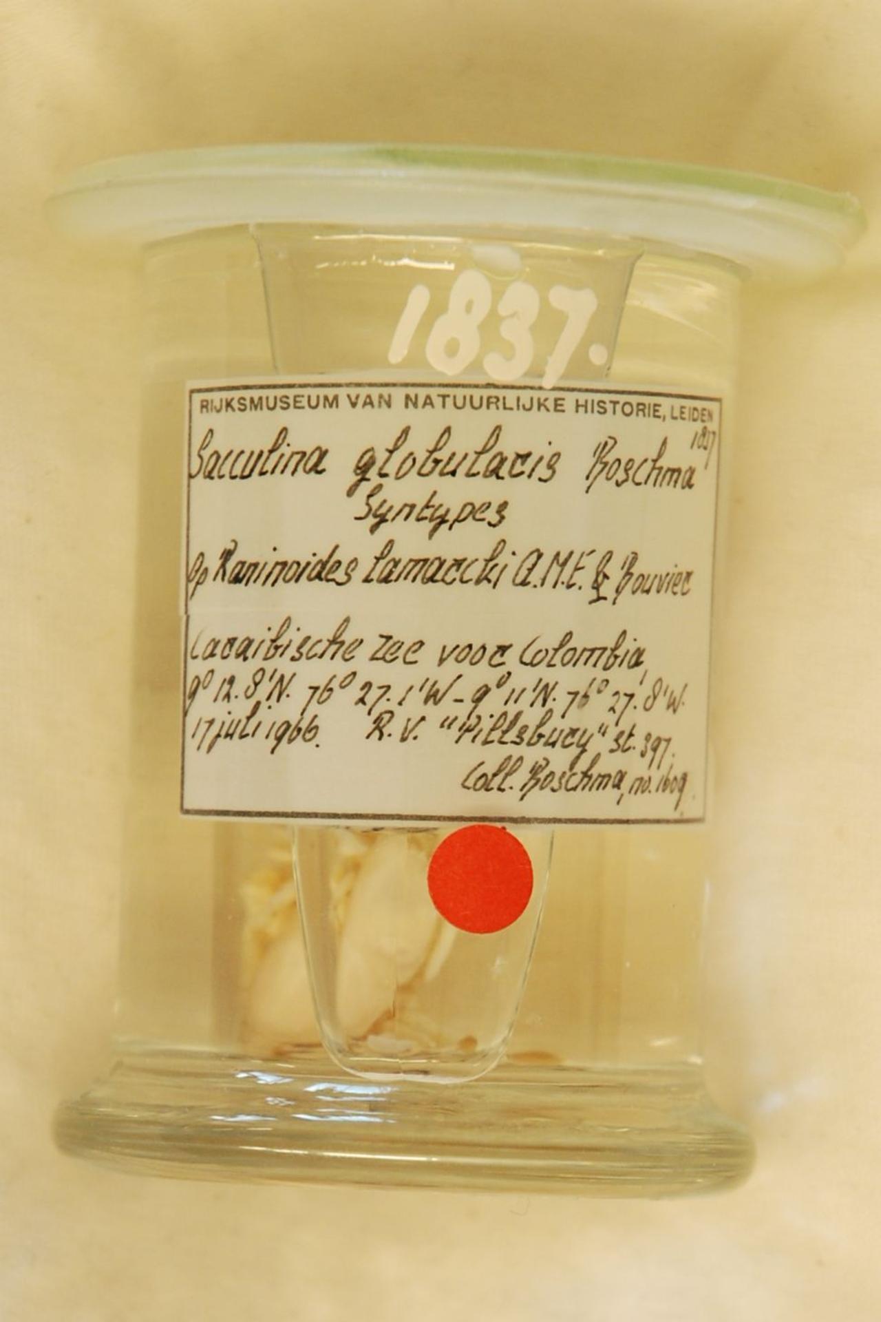 RMNH.CRUS.C.1837 | Sacculina globularis Boschma
