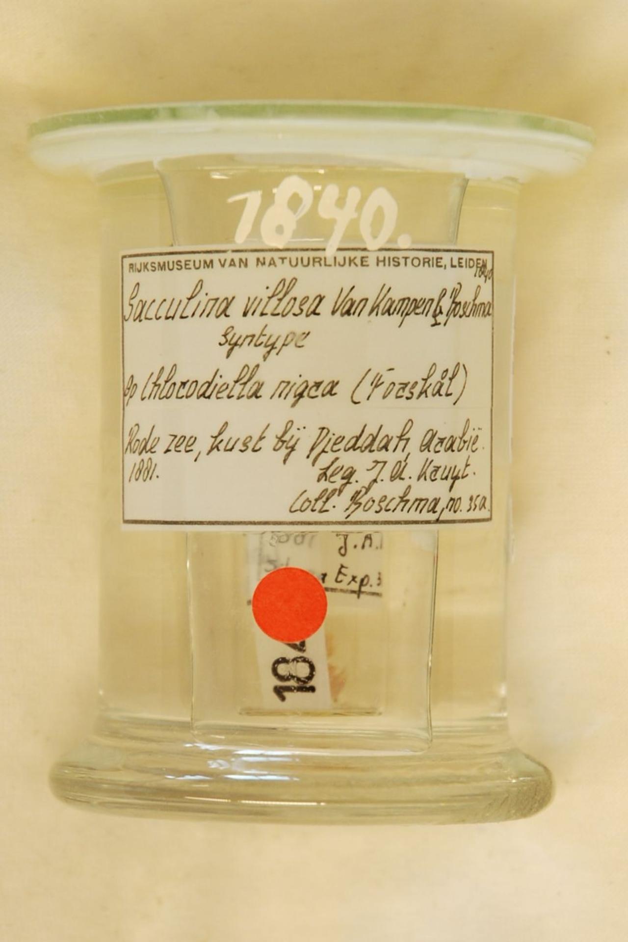 RMNH.CRUS.C.1840 | Sacculina villosa Van Kampen en Boschma