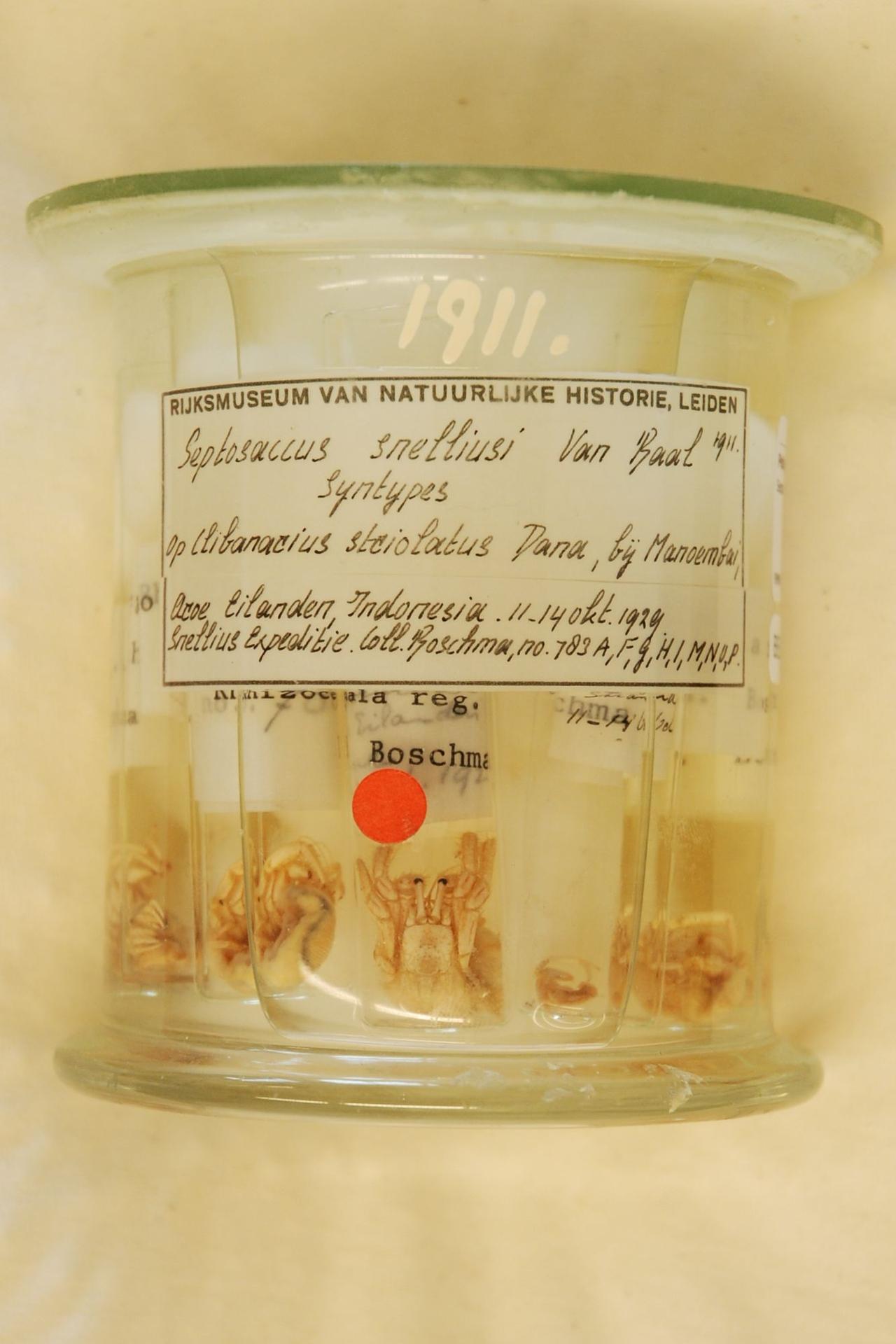 RMNH.CRUS.C.1911 | Septosaccus snelliusi Van Baal, 1937
