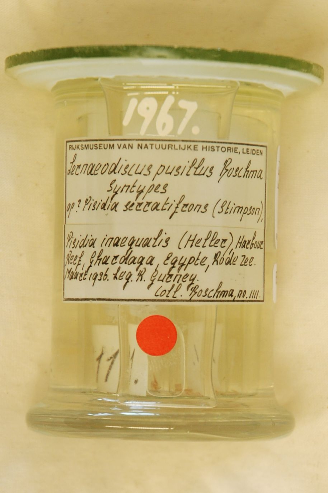 RMNH.CRUS.C.1967 | Lernaeodiscus pusillus Boschma