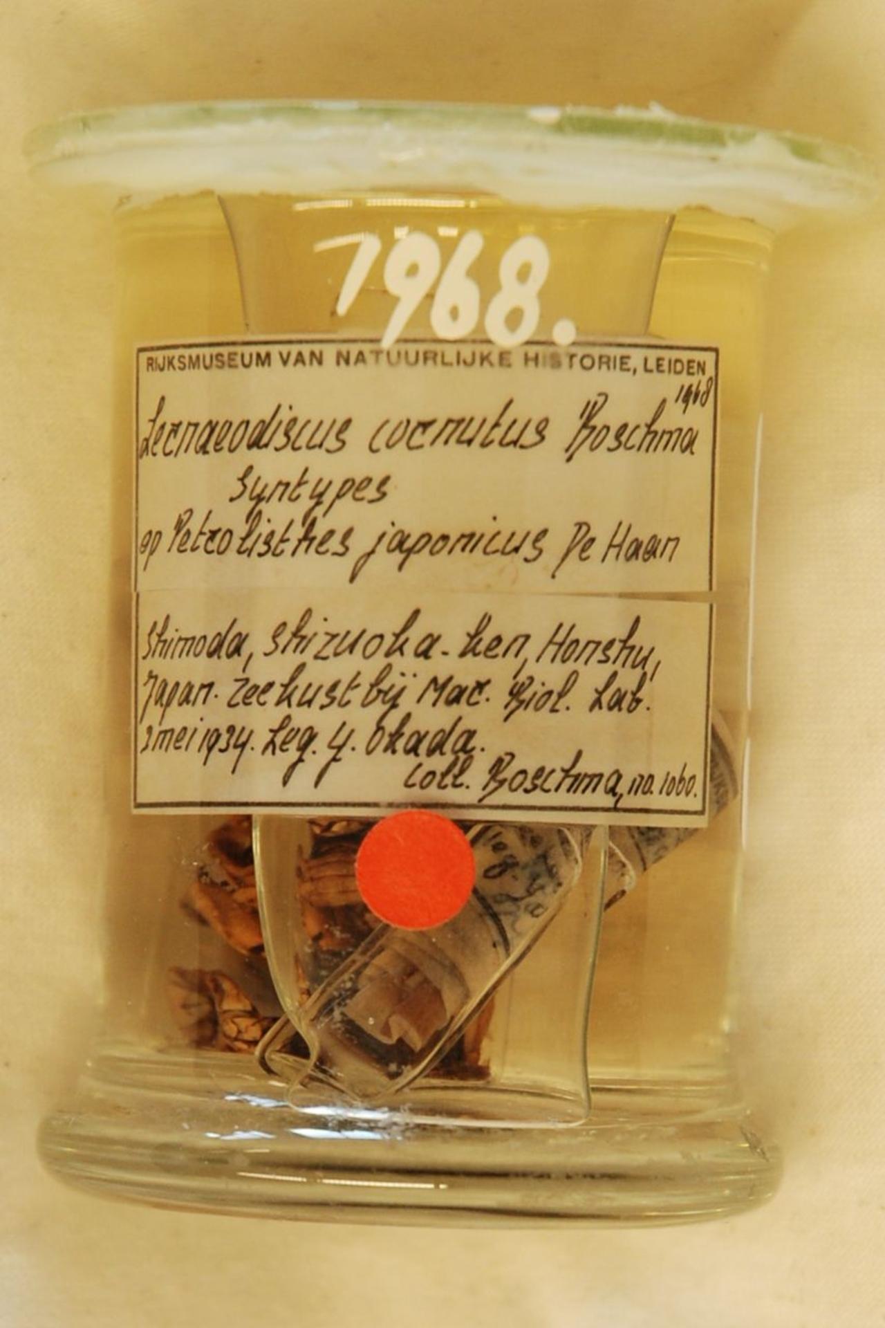 RMNH.CRUS.C.1968 | Lernaeodiscus cornutus Van Baal, 1937
