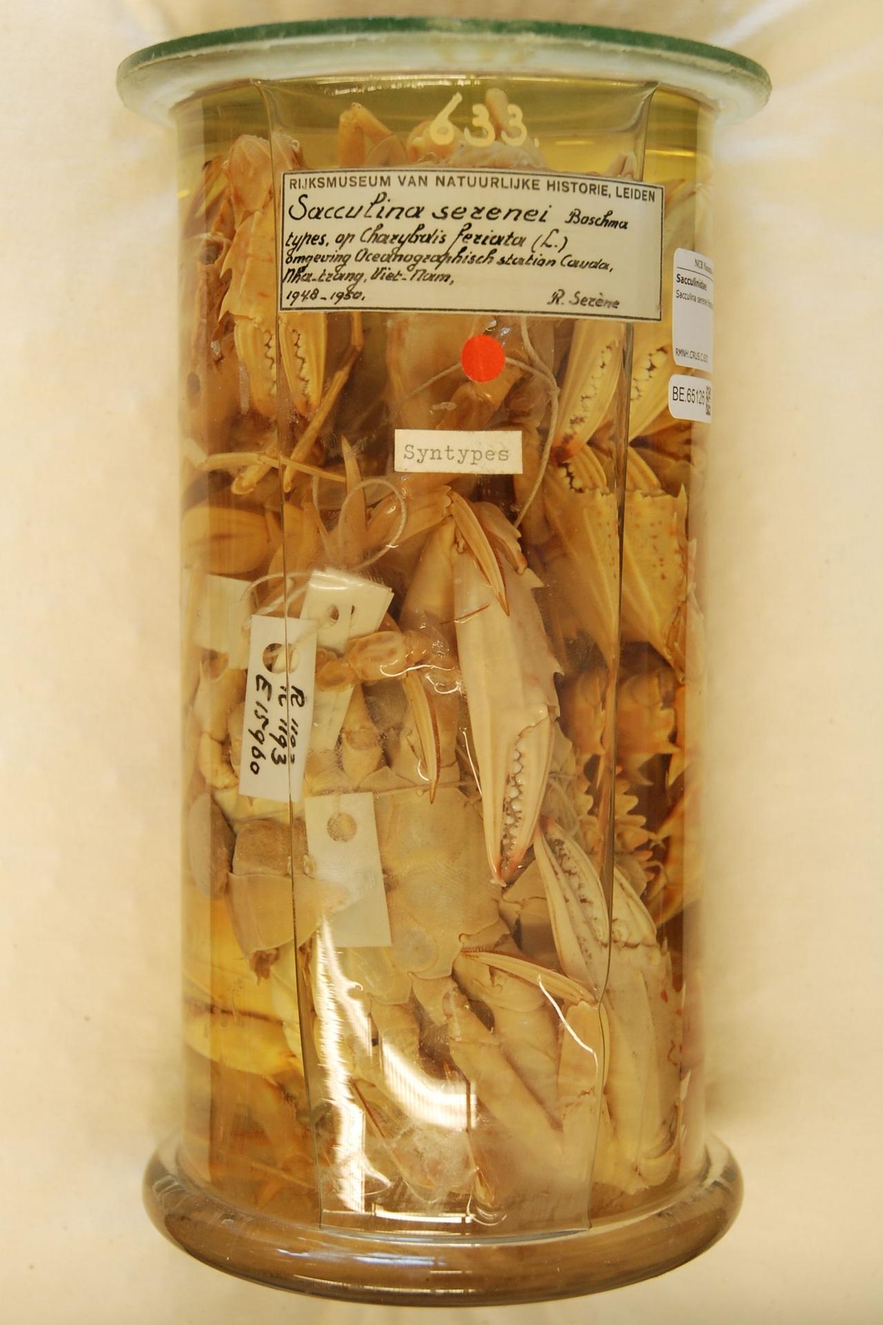 RMNH.CRUS.C.633 | Sacculina serenei Boschma
