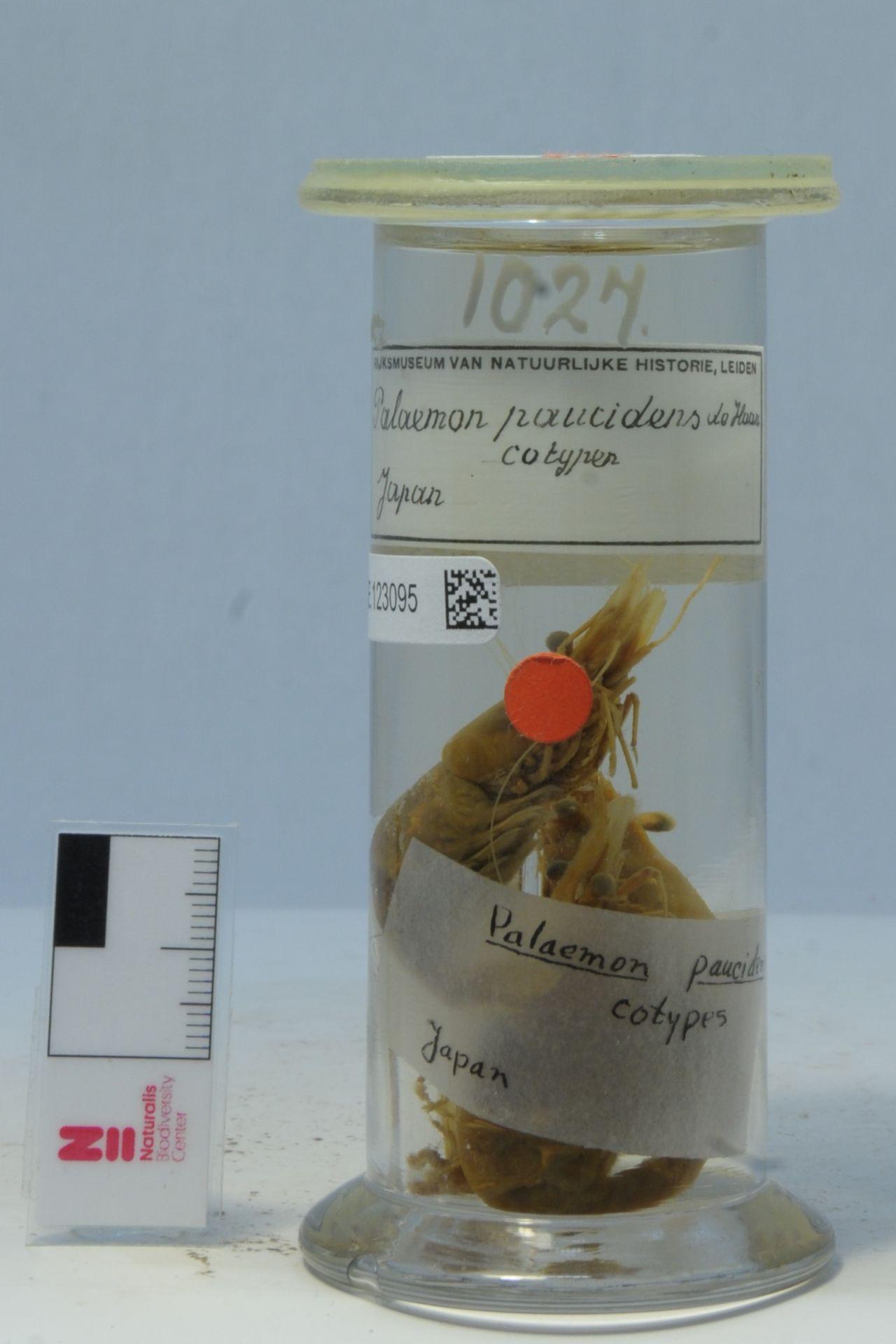 RMNH.CRUS.D.1027 | Palaemon (Palaemon) paucidens De Haan, 1844