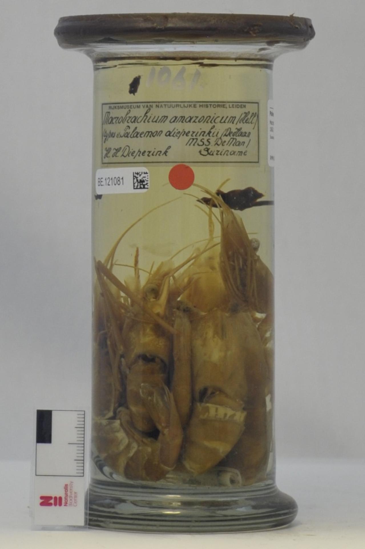 RMNH.CRUS.D.1061 | Macrobrachium amazonicum (Heller, 1862)