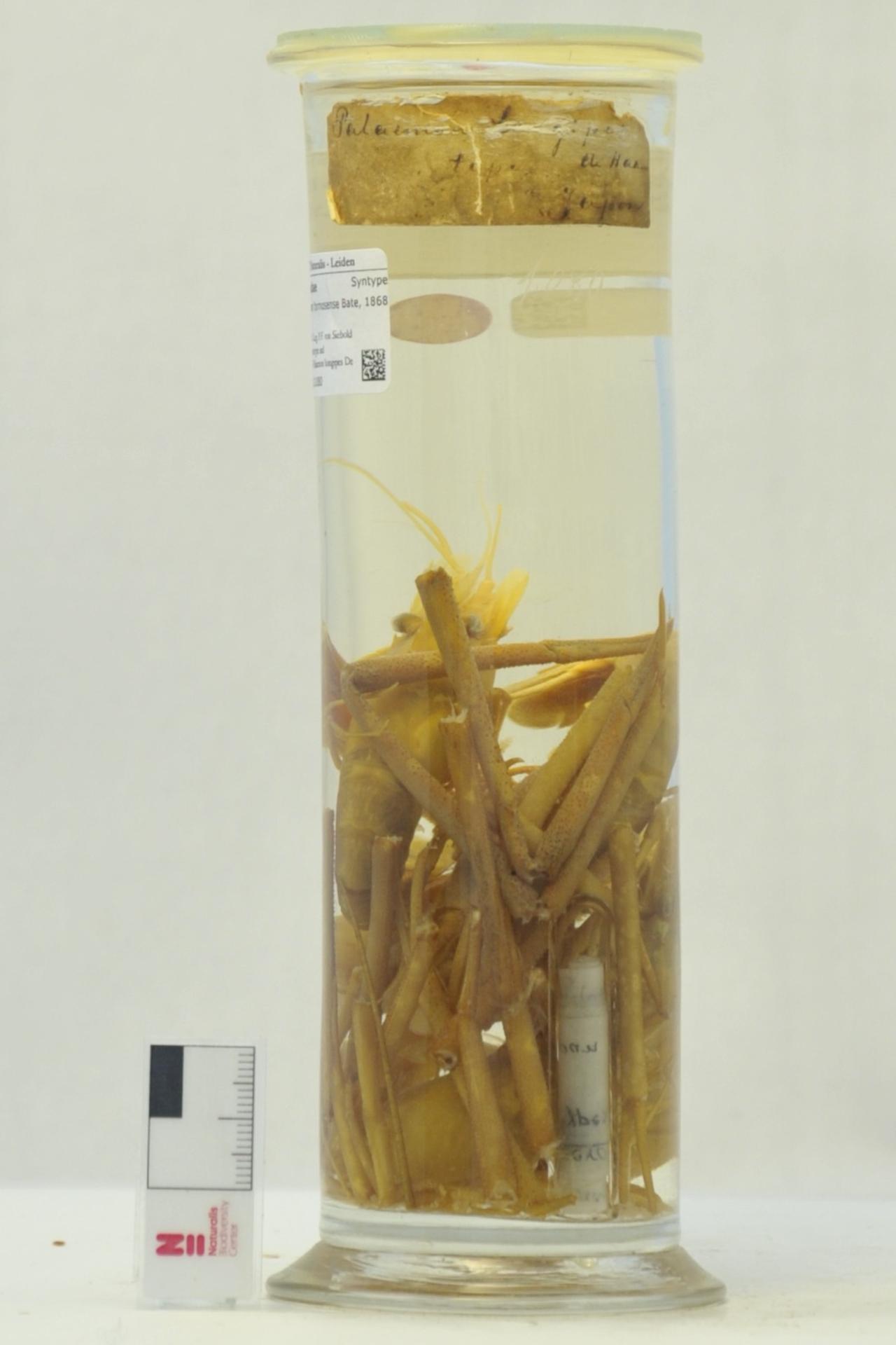 RMNH.CRUS.D.1080 | Macrobrachium formosense Bate, 1868