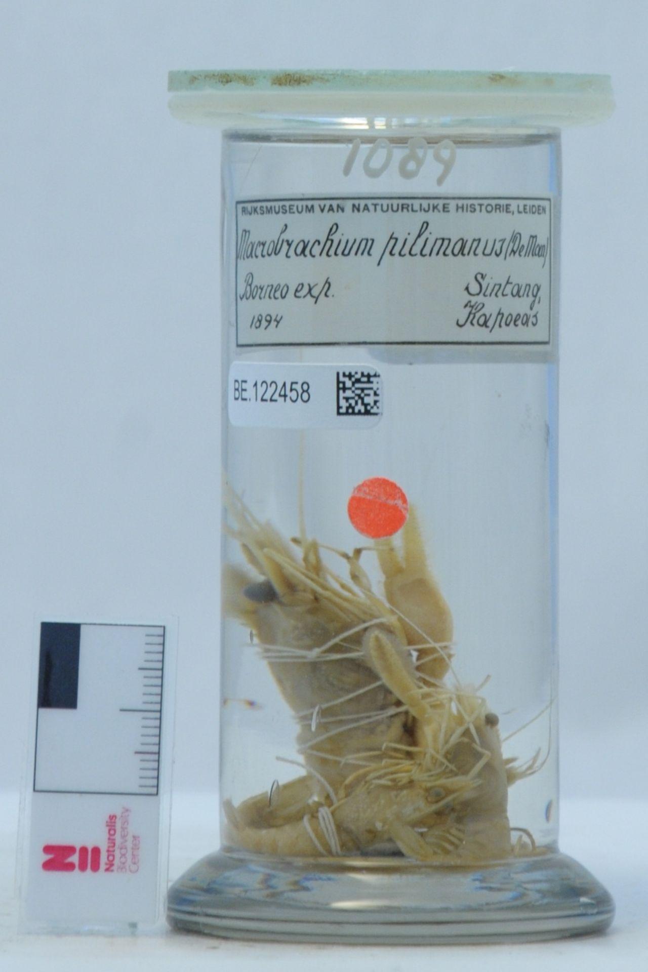 RMNH.CRUS.D.1089   Macrobrachium pilimanus (De Man, 1879)