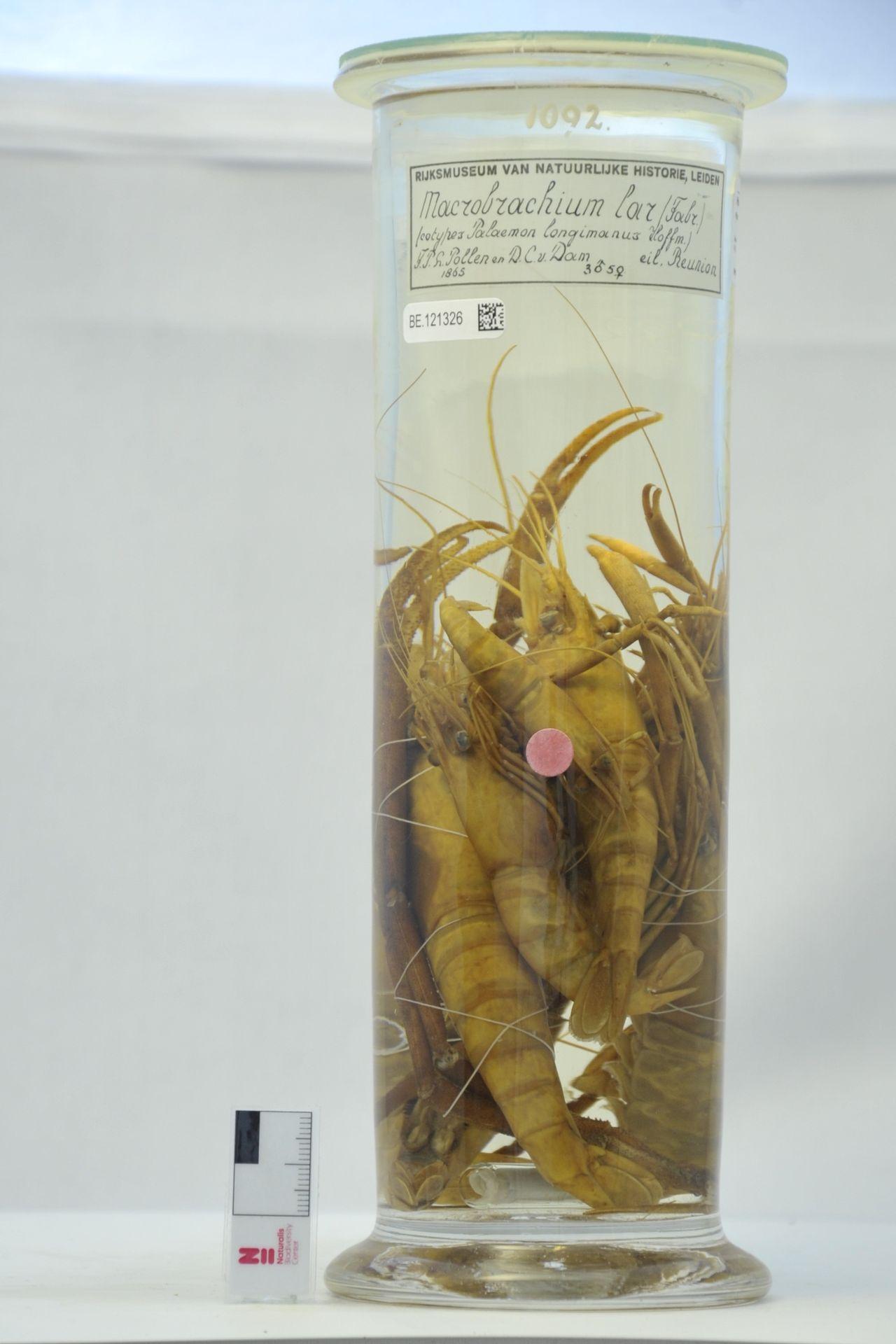 RMNH.CRUS.D.1092   Macrobrachium lar (Fabricius, 1798)