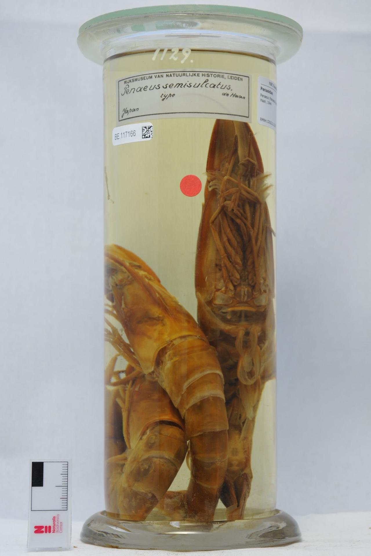 RMNH.CRUS.D.1129 | Penaeus (Penaeus) semisulcatus De Haan, 1844