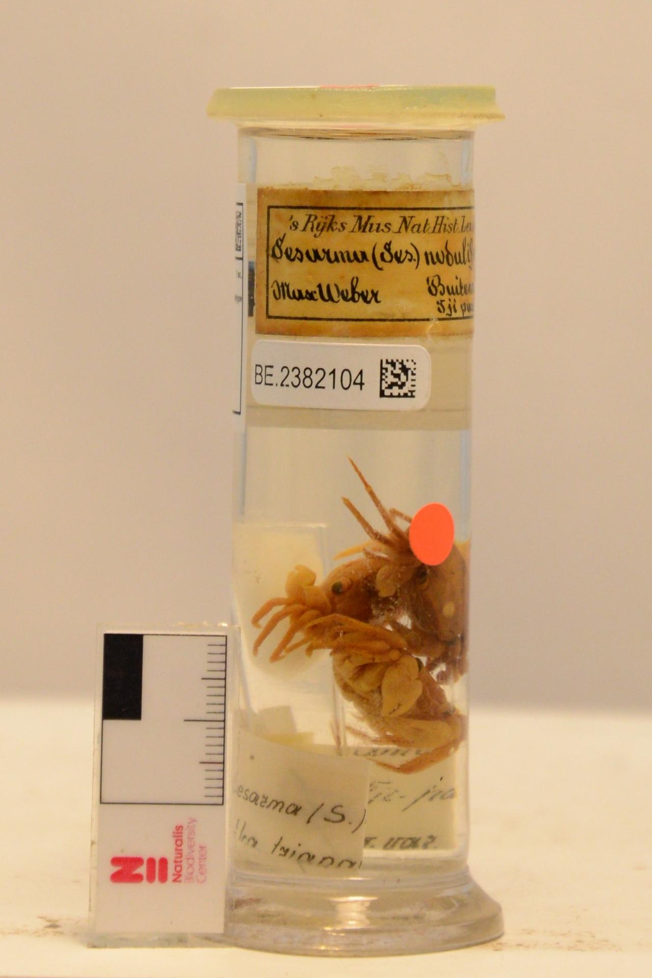 RMNH.CRUS.D.1246 | Sesarma (Sesarma) nodulifera De Man, 1892
