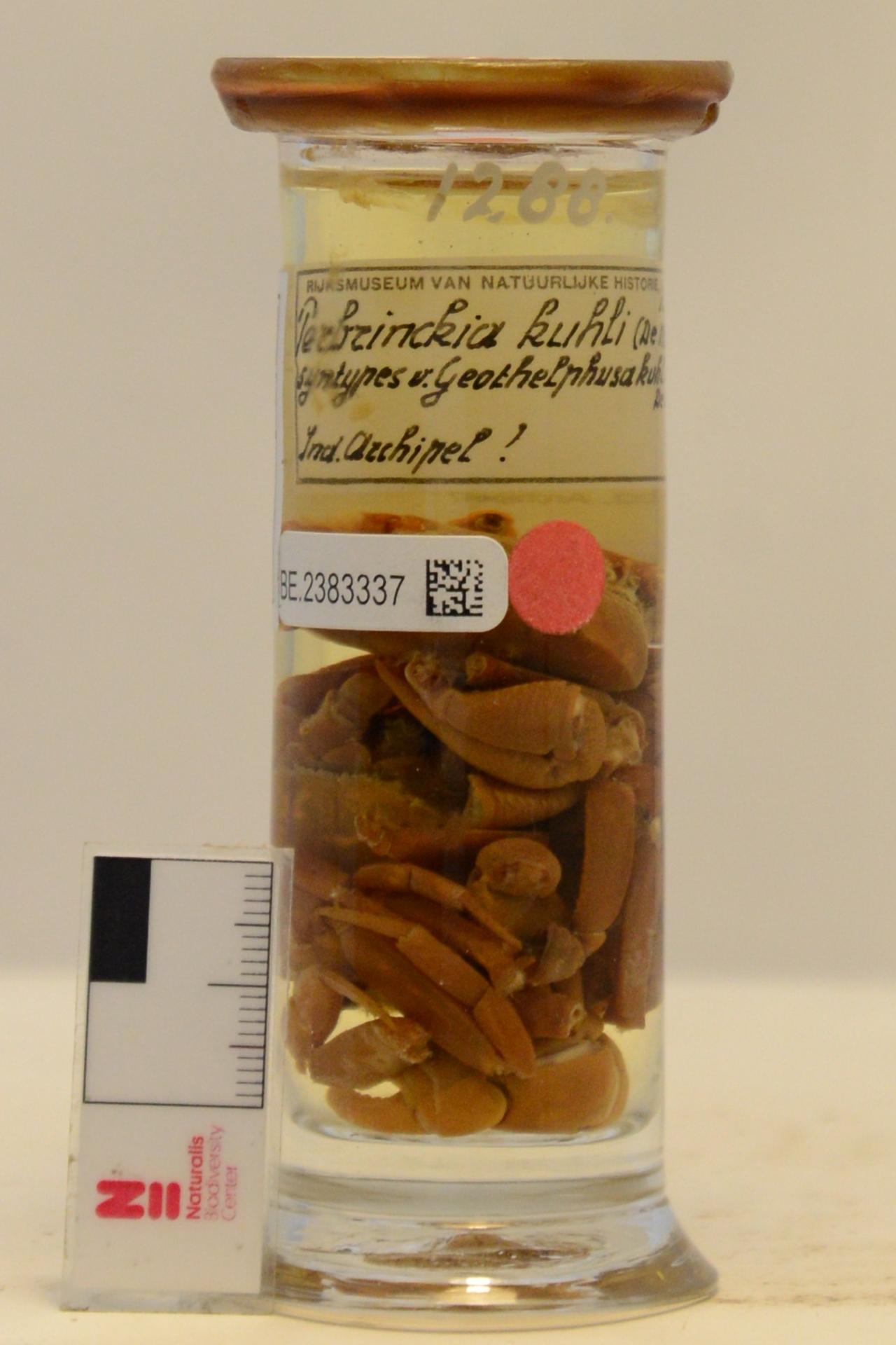 RMNH.CRUS.D.1288   Perbrinckia kuhli (De Man, 1883)