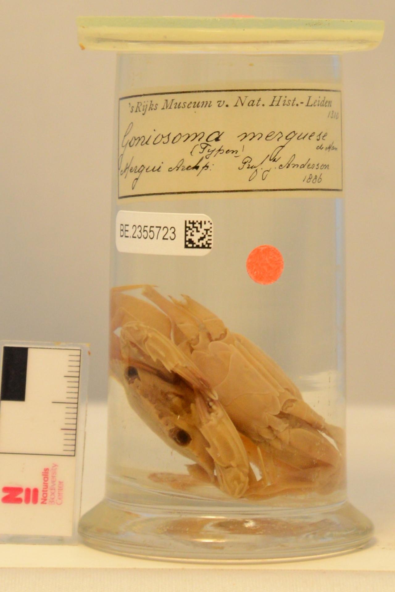 RMNH.CRUS.D.1310 | Charybdis (Charybdis) helleri A. Milne Edwards, 1867