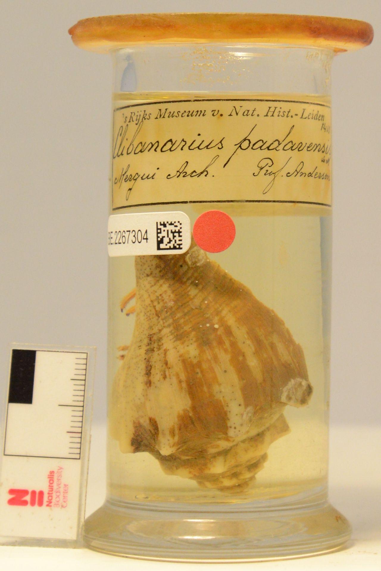 RMNH.CRUS.D.1410 | Clibanarius padavensis De Man, 1888