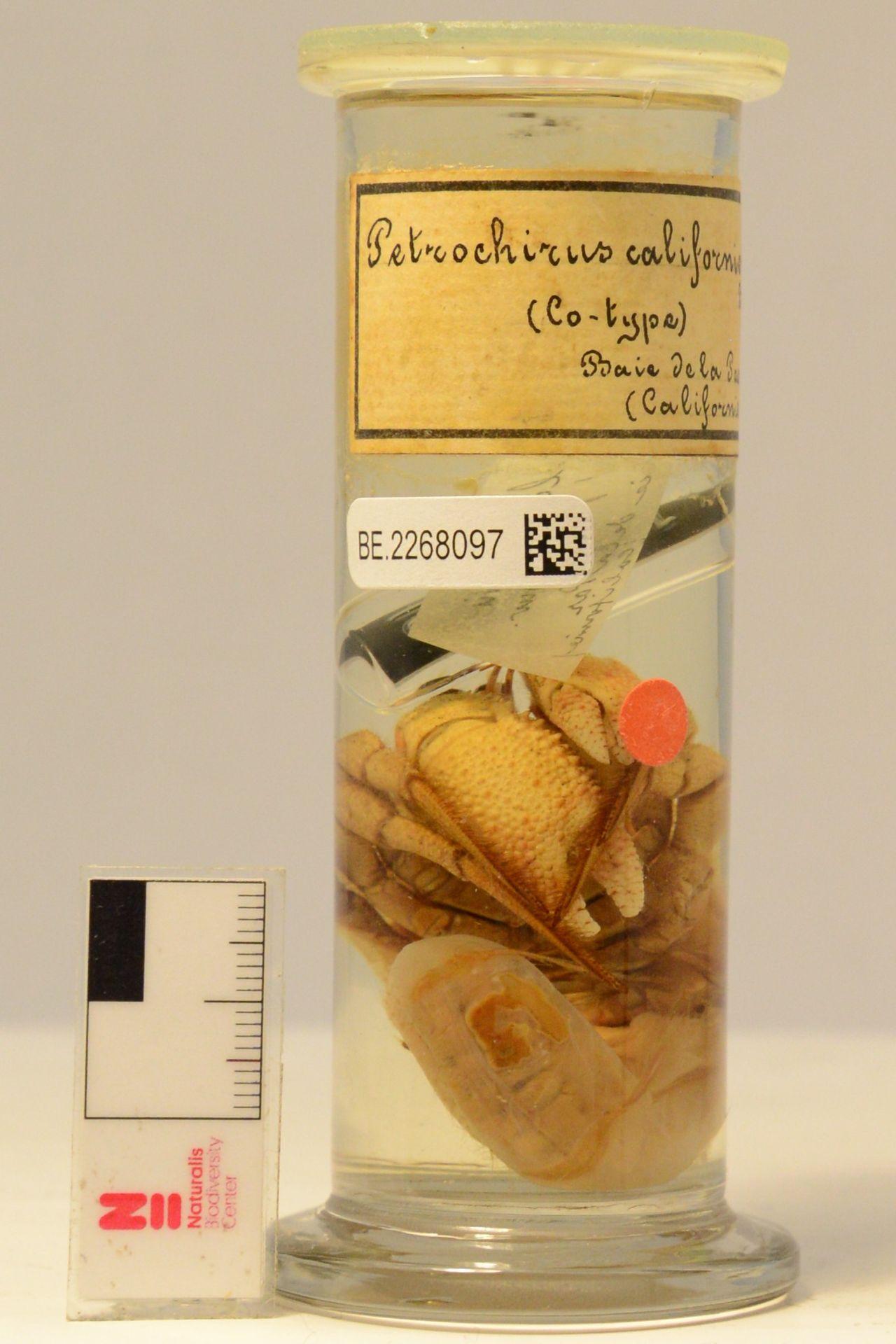 RMNH.CRUS.D.1412 | Petrochirus californicus Bouvier, 1895