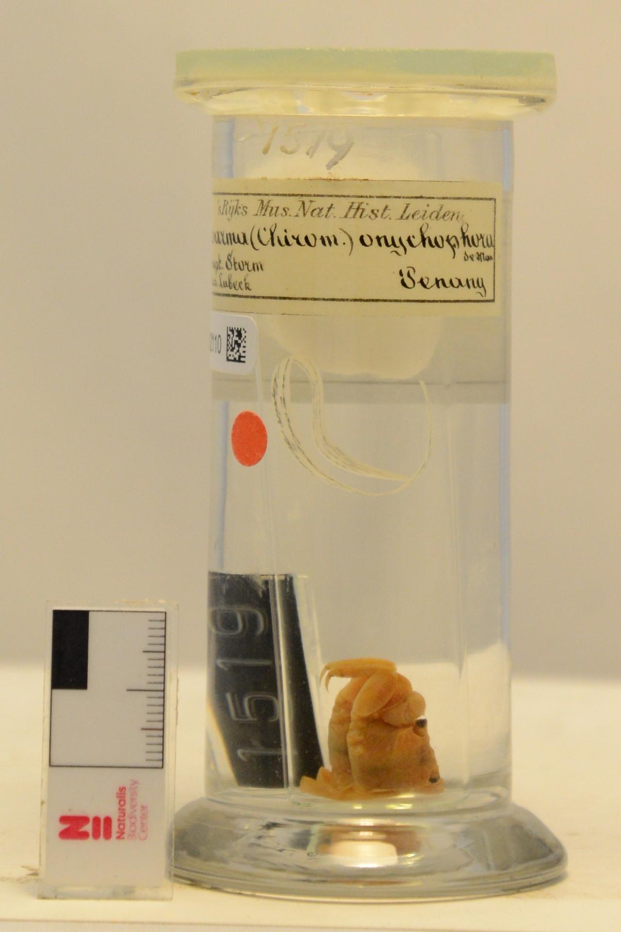 RMNH.CRUS.D.1519 | Sesarma (Chiromantes) onychophora De Man, 1895