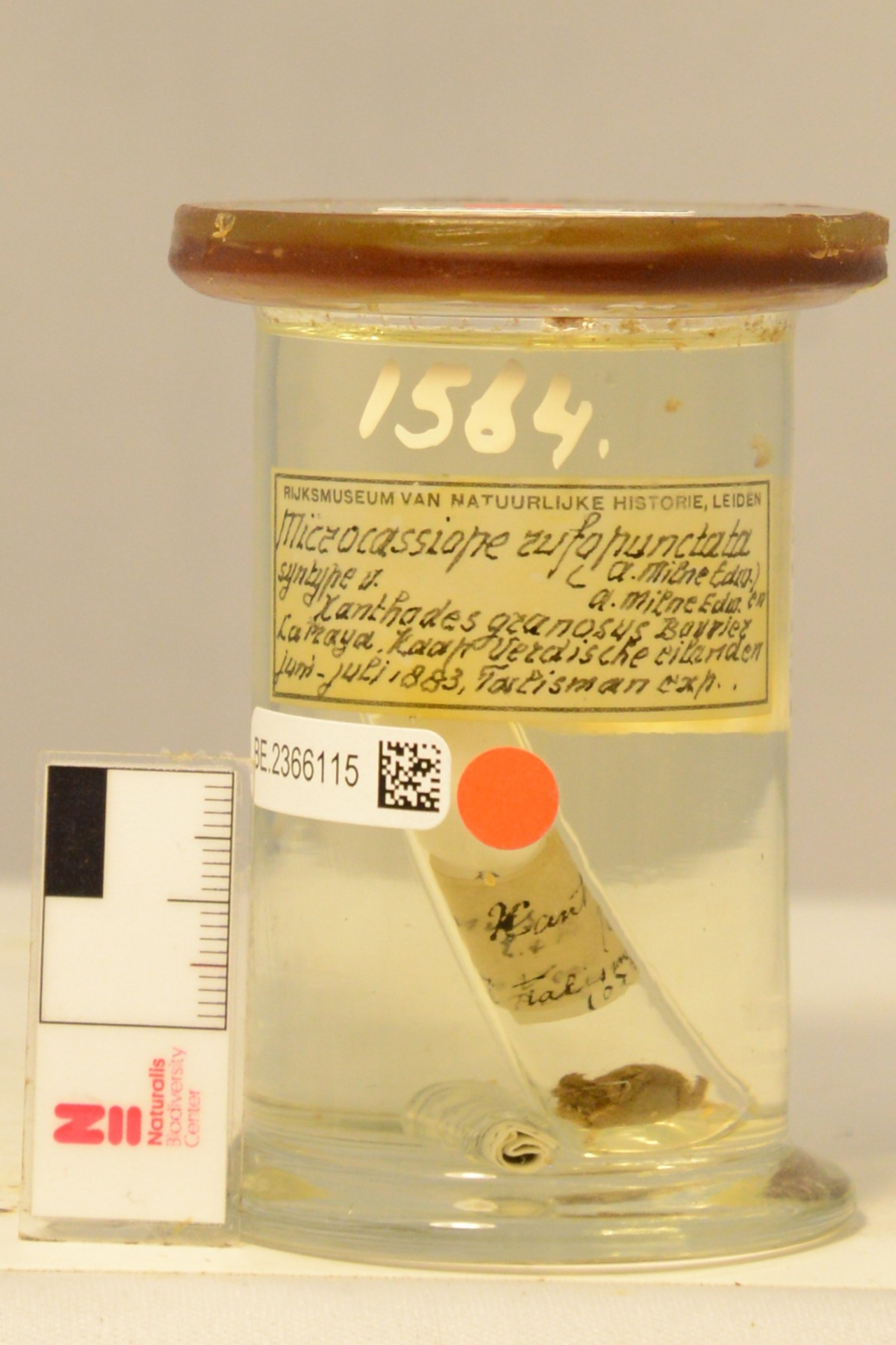 RMNH.CRUS.D.1564 | Microcassiope minor (Dana, 1852)
