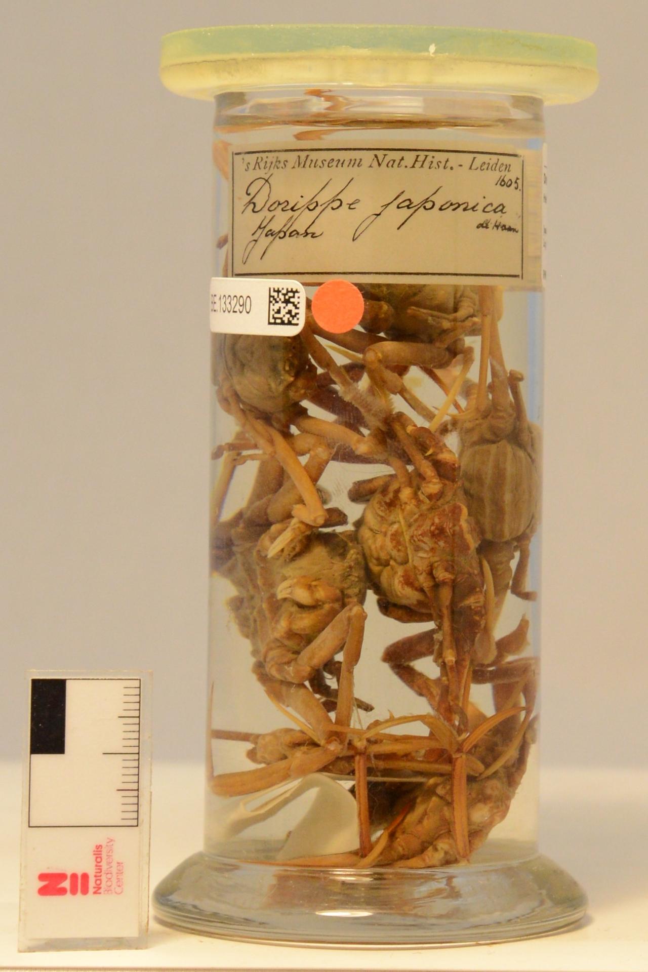 RMNH.CRUS.D.1605 | Heikea japonica (Von Siebold, 1824)
