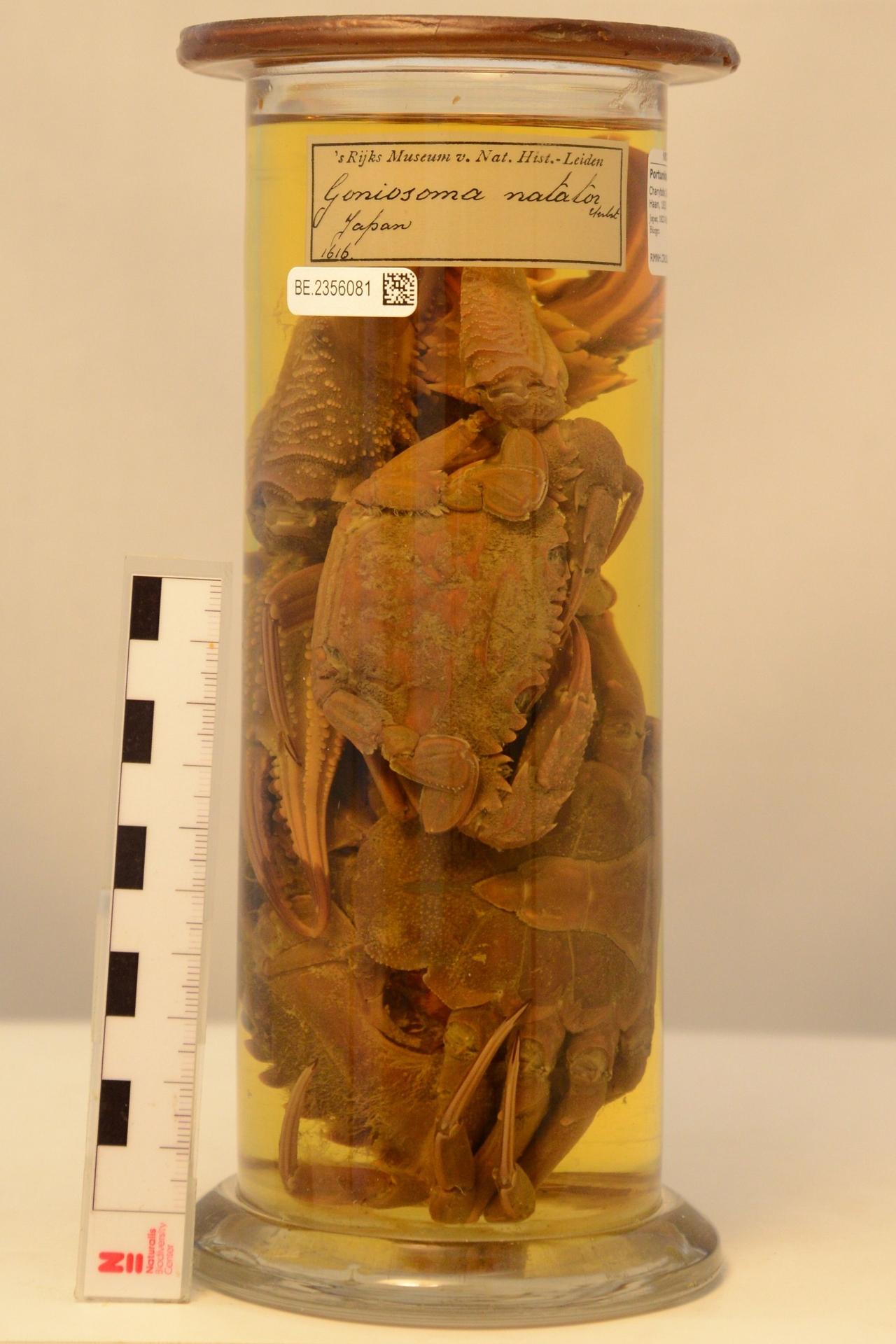 RMNH.CRUS.D.1616   Charybdis (Charybdis) granulata (De Haan, 1833)