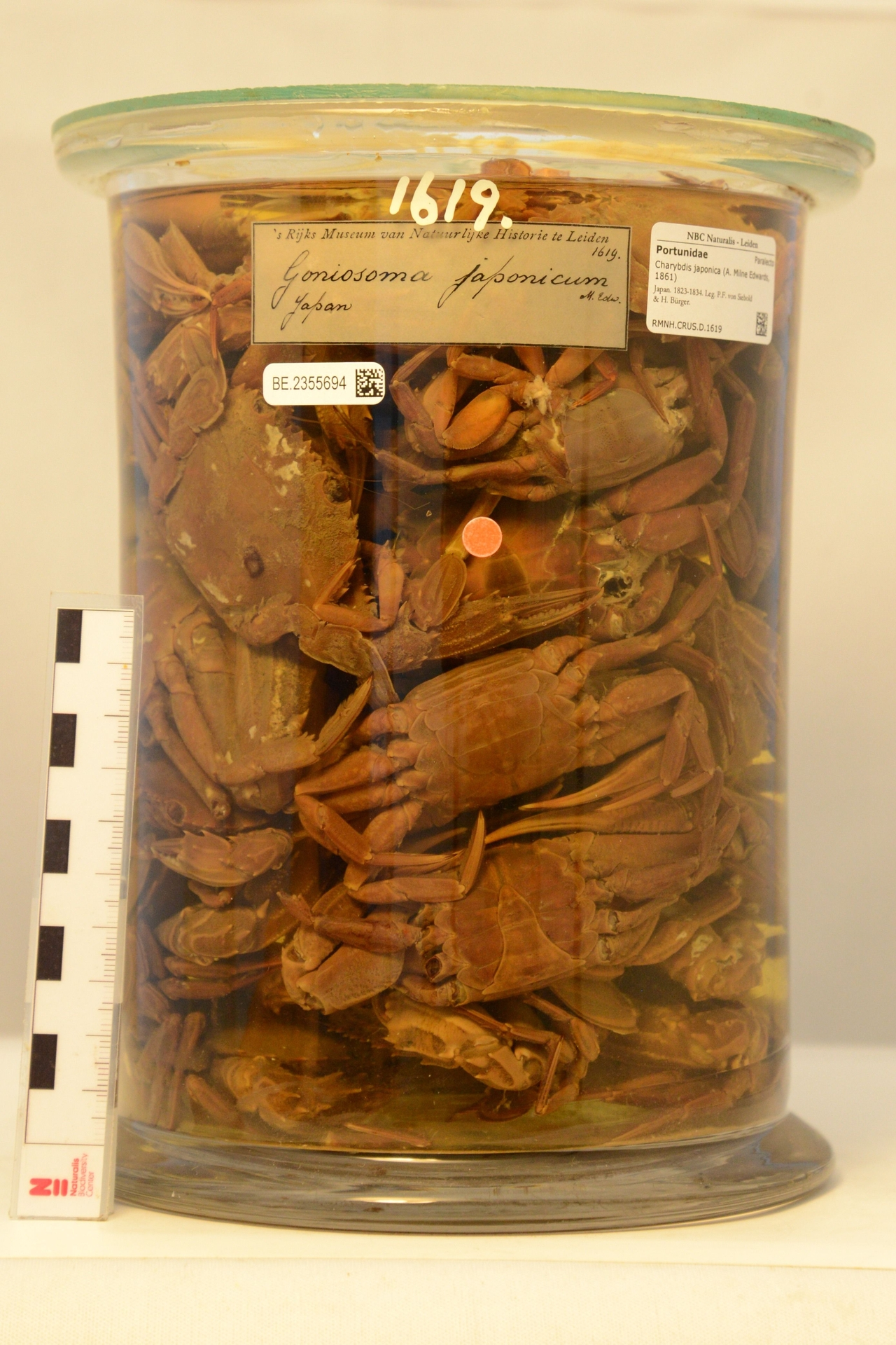 RMNH.CRUS.D.1619 | Charybdis japonica (A. Milne Edwards, 1861)