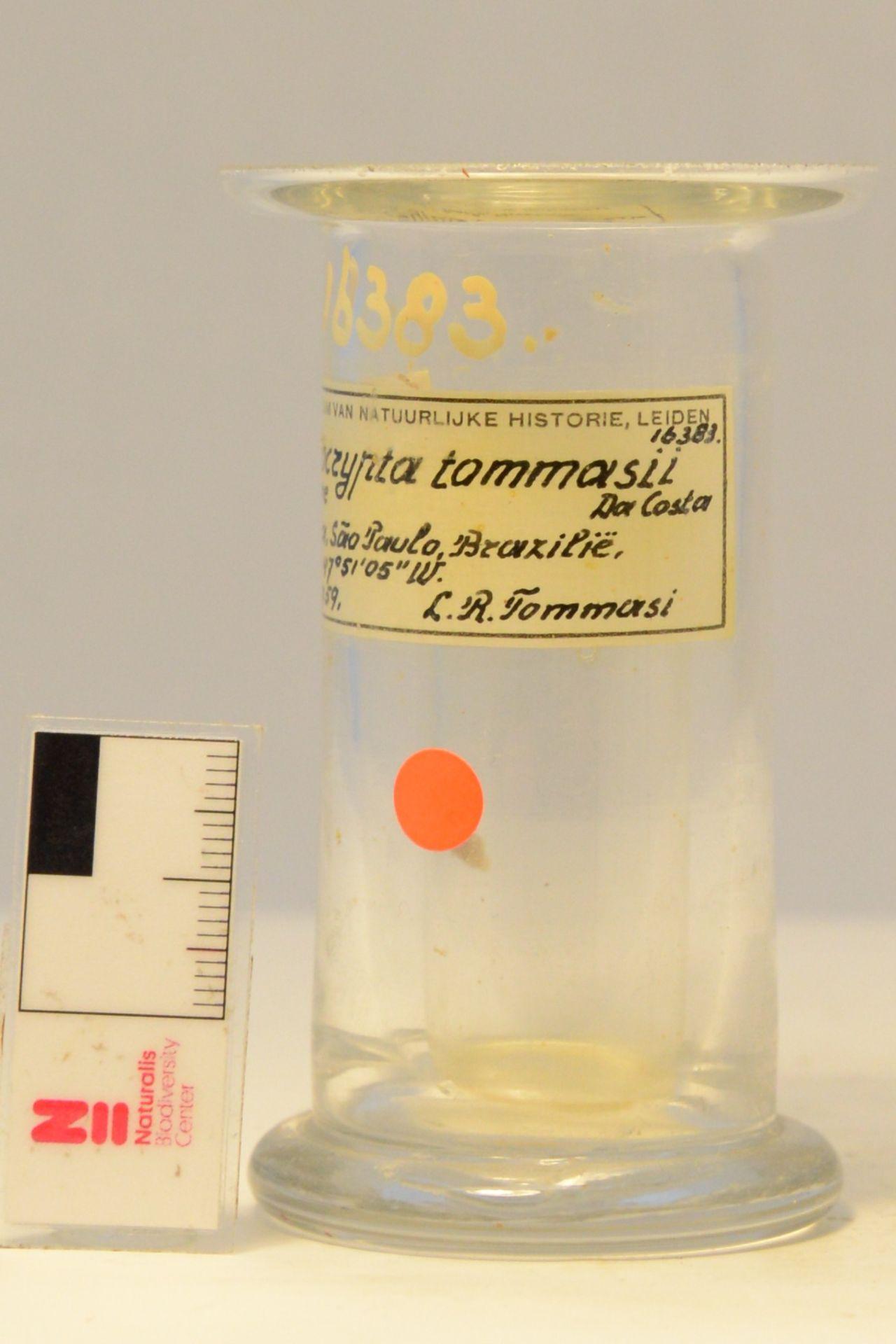 RMNH.CRUS.D.16383 | Heterocrypta tommasii Da Costa, 1959