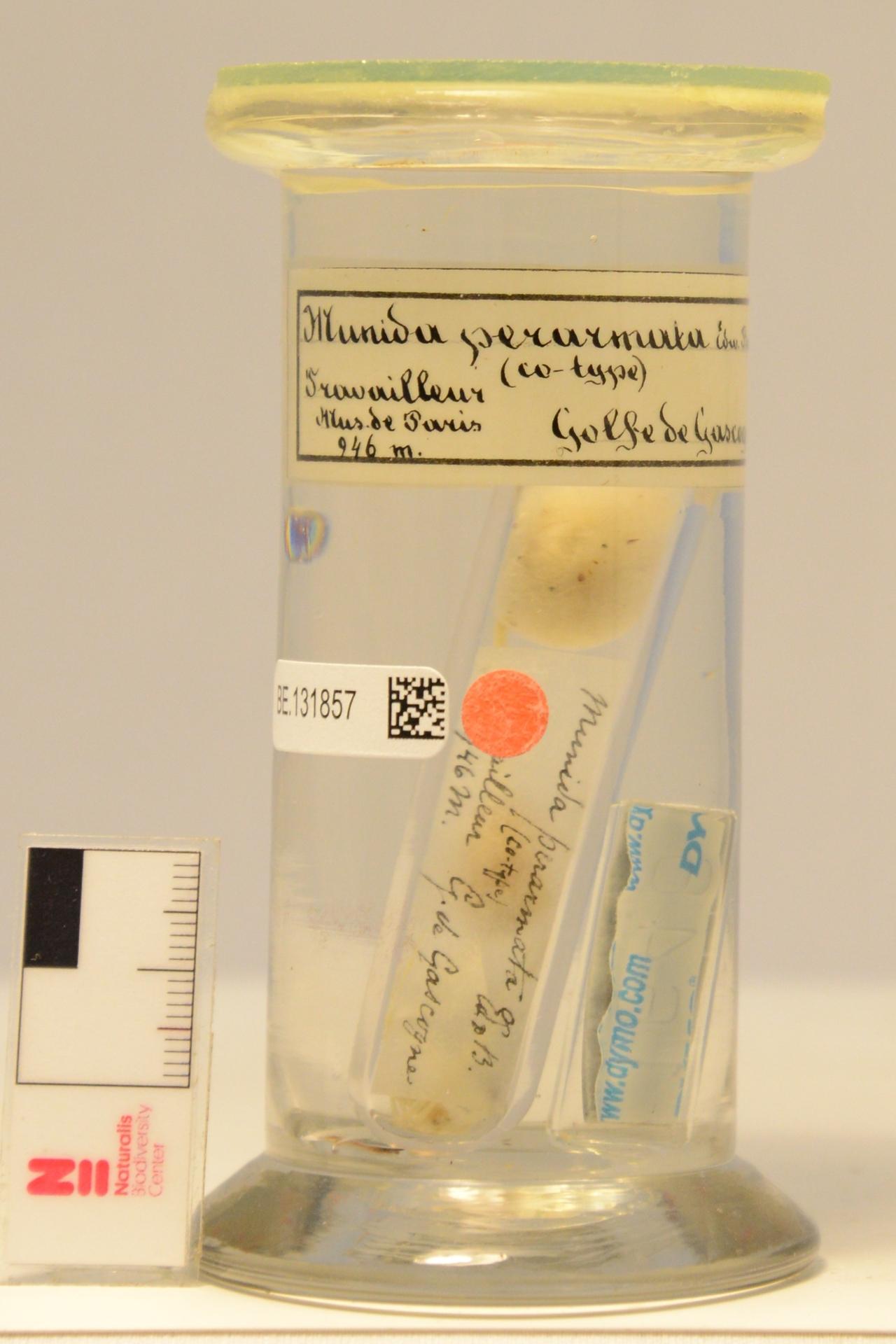 RMNH.CRUS.D.1646 | Munida perarmata A. Milne Edwards & Bouvier, 1894