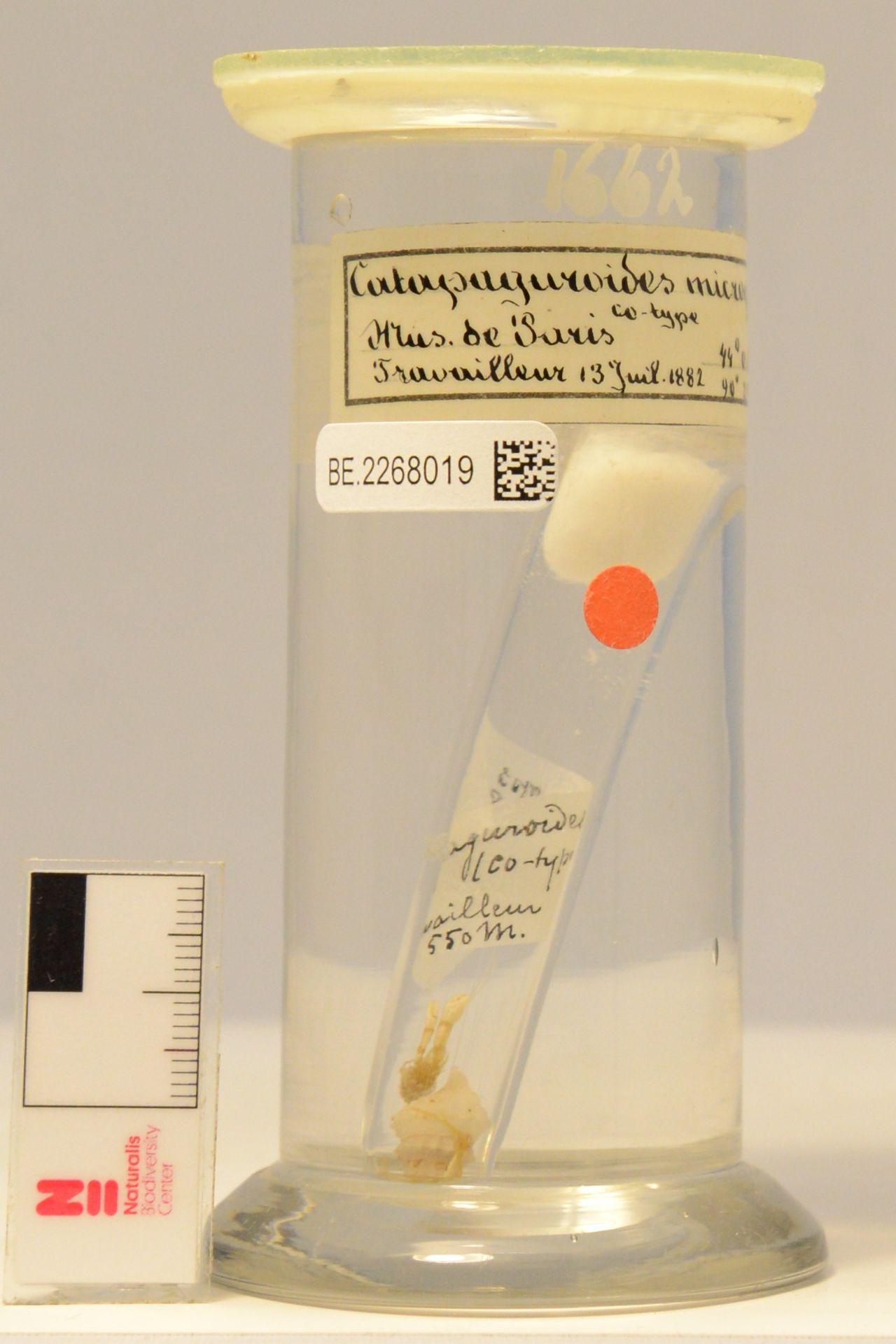 RMNH.CRUS.D.1662 | Catapaguroides microps A. Milne Edwards & Bouvier, 1892