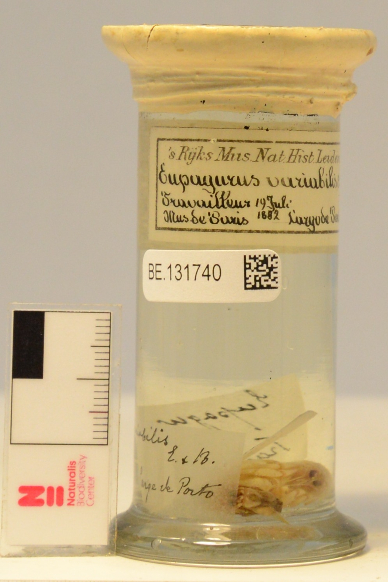 RMNH.CRUS.D.1666 | Pagurus alatus Fabricius, 1775