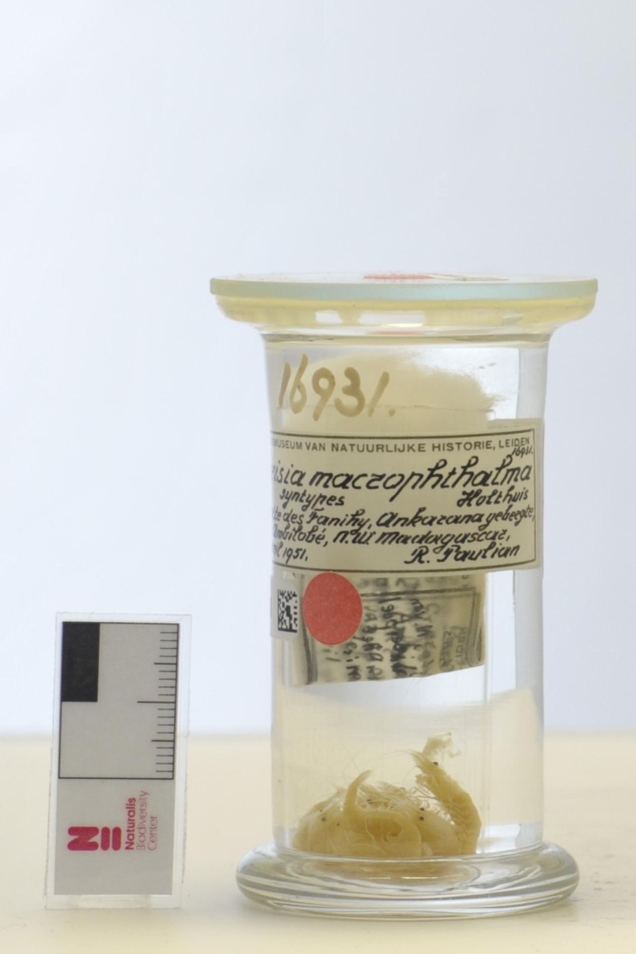 RMNH.CRUS.D.16931 | Parisia macrophthalma Holthuis, 1956
