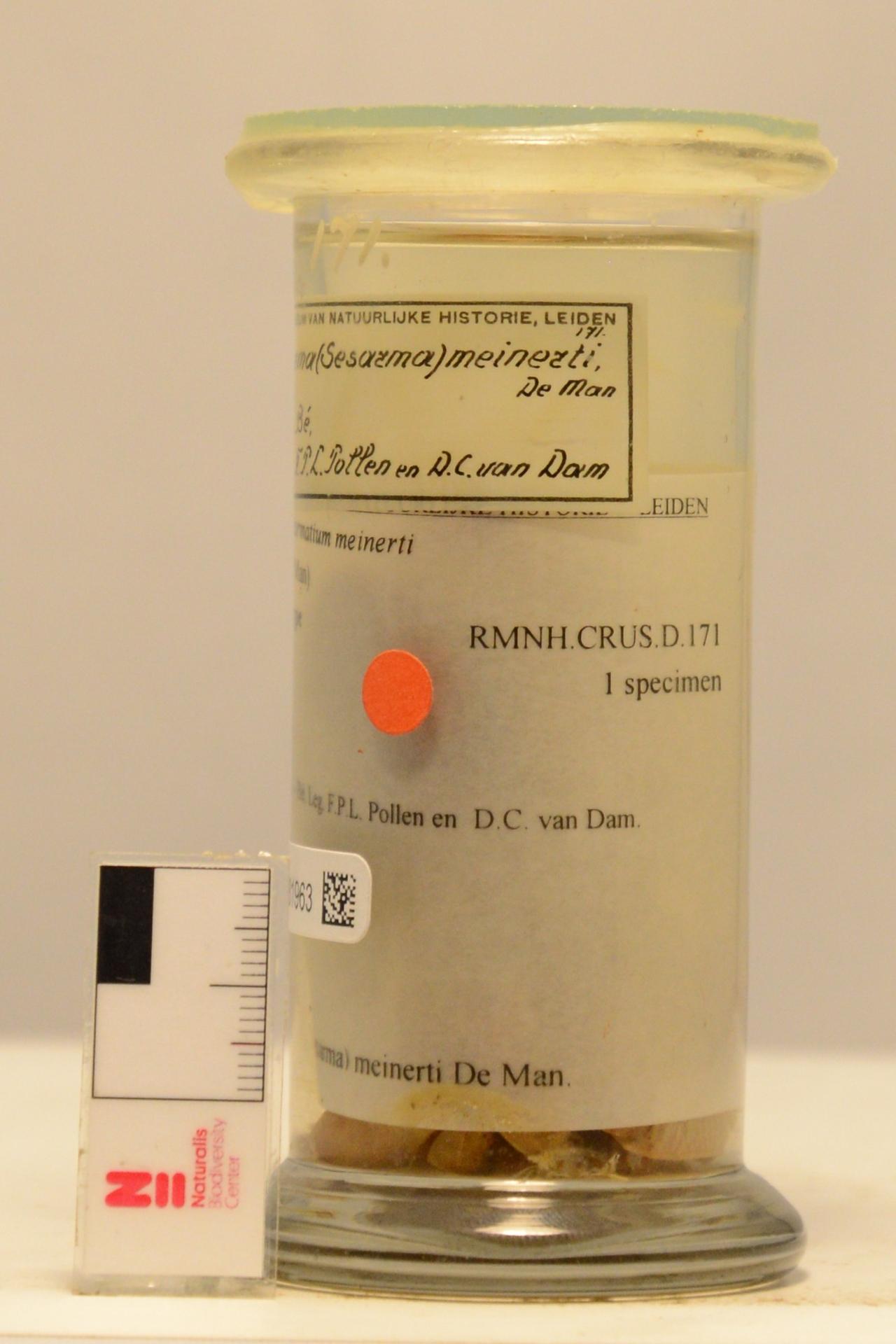 RMNH.CRUS.D.171 | Neosarmatium meinerti (De Man, 1887)