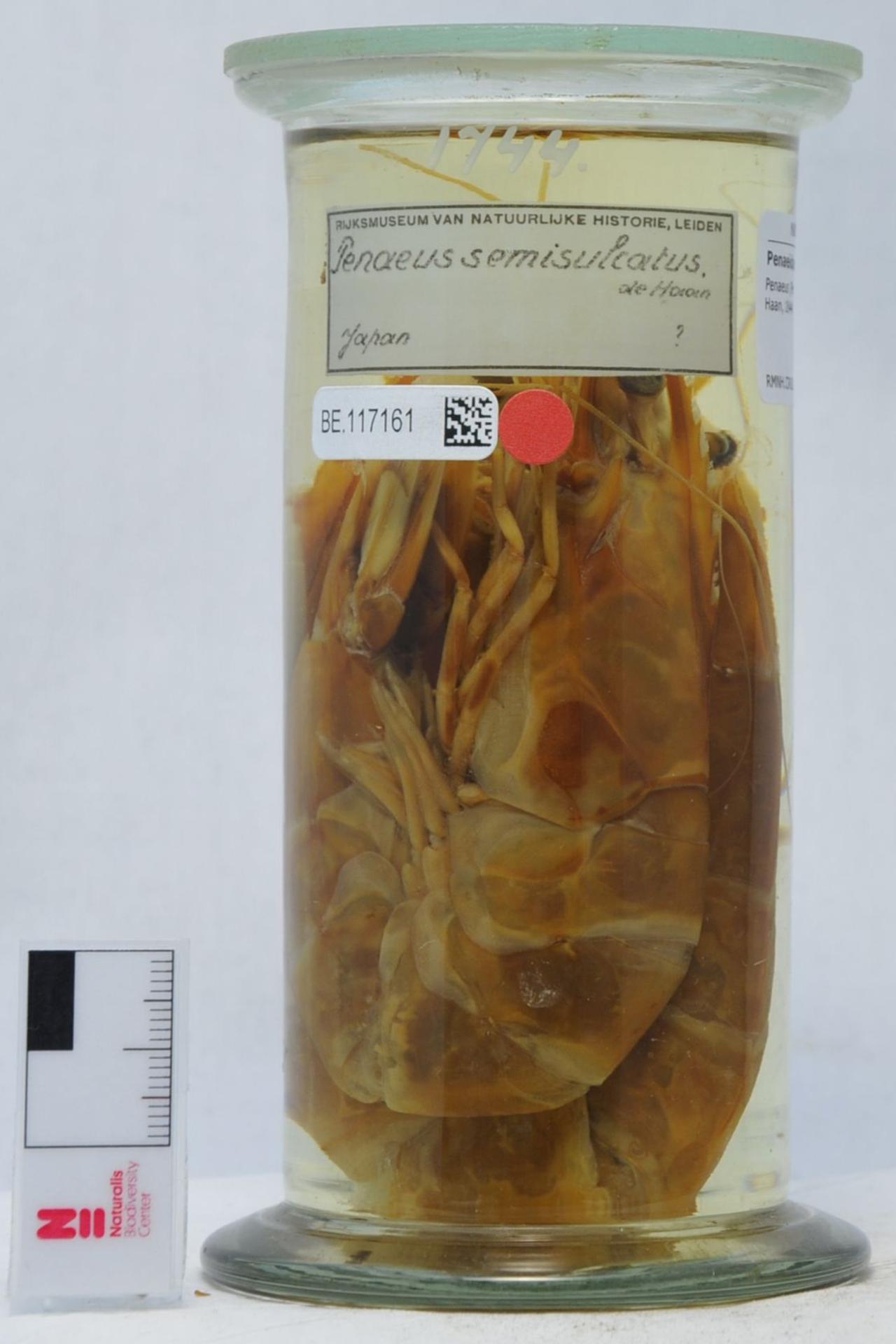 RMNH.CRUS.D.1744 | Penaeus (Penaeus) semisulcatus De Haan, 1844