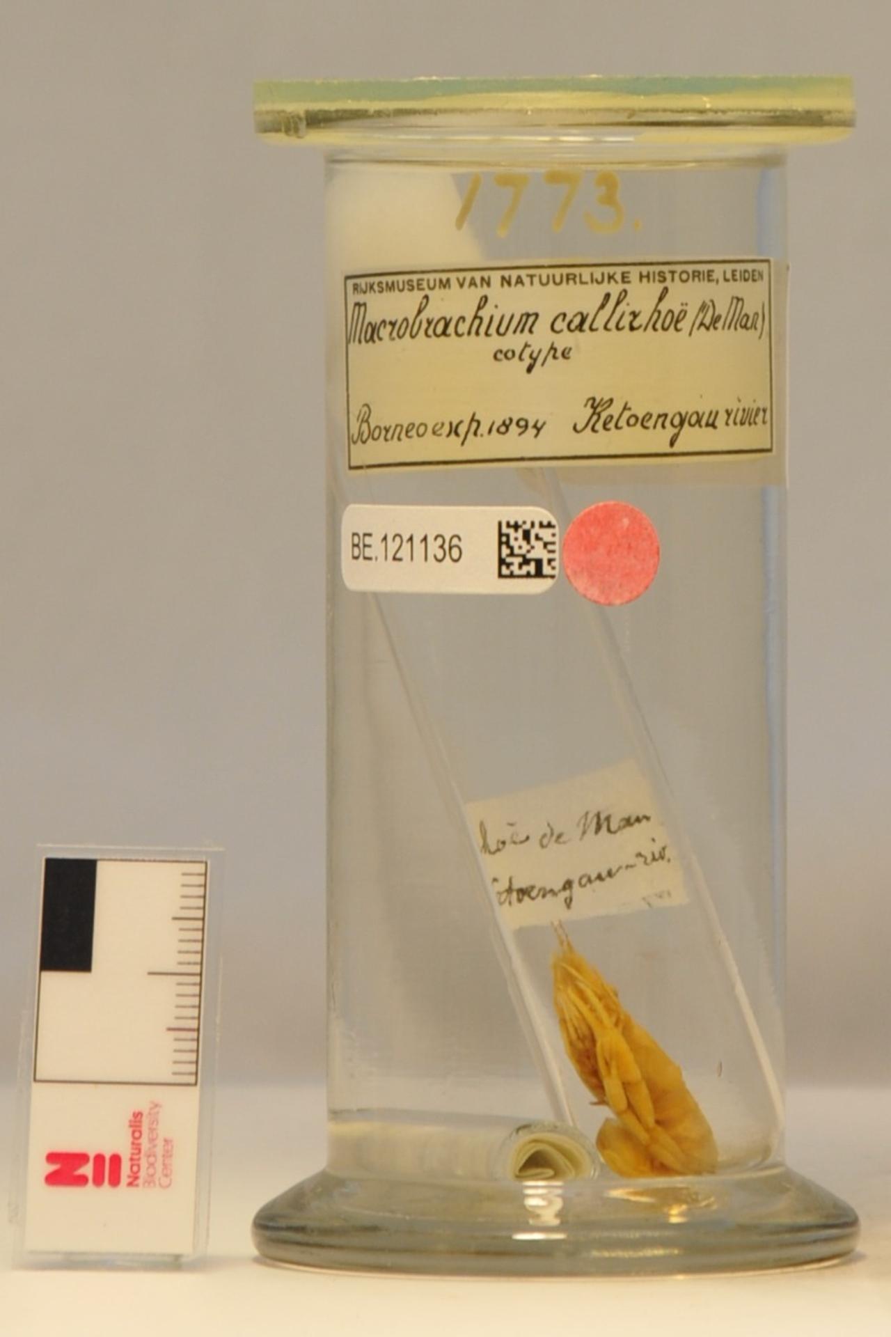 RMNH.CRUS.D.1773 | Macrobrachium callirhoe (De Man, 1898)