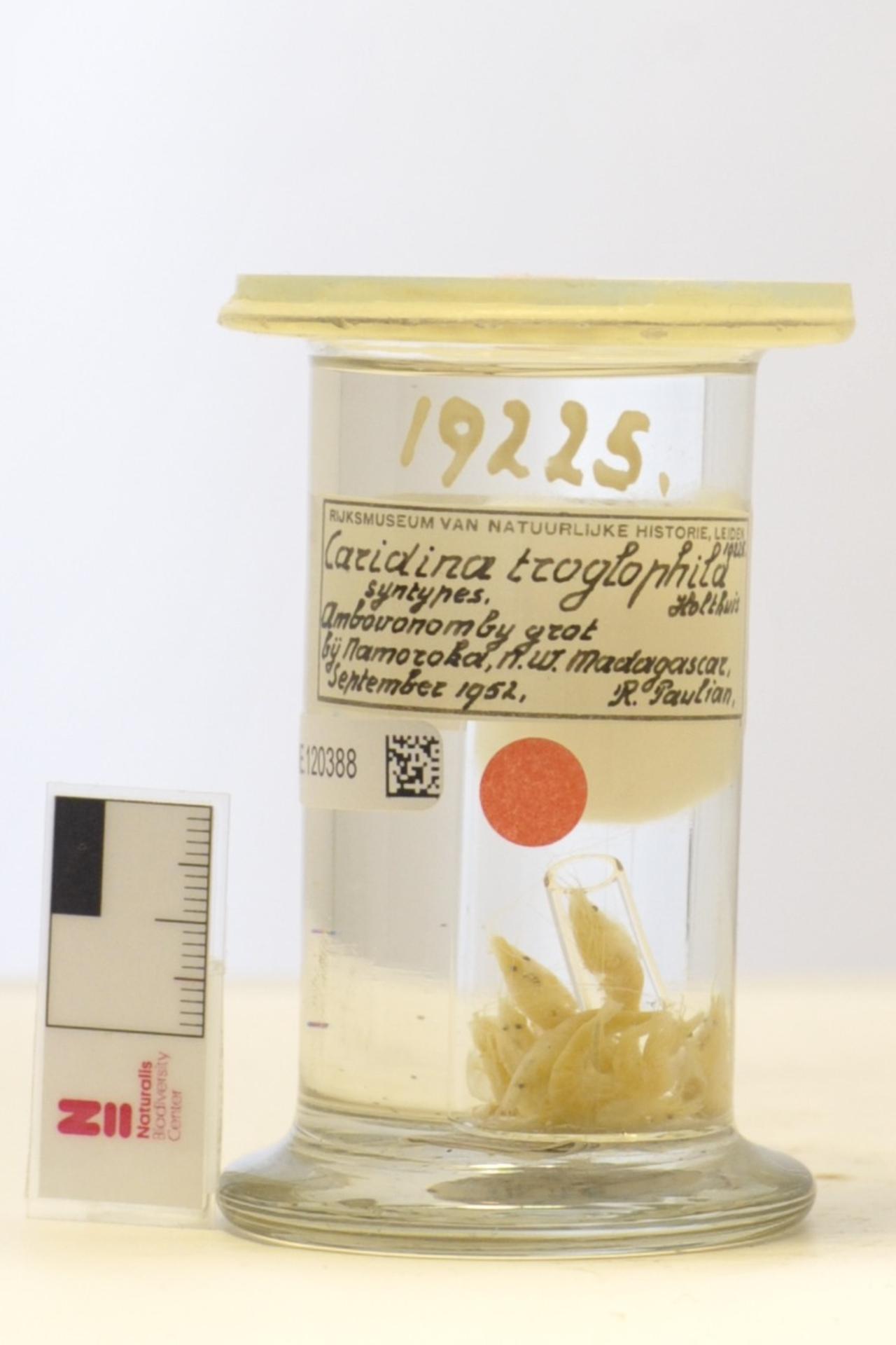 RMNH.CRUS.D.19225 | Caridina troglophila Holthuis, 1965