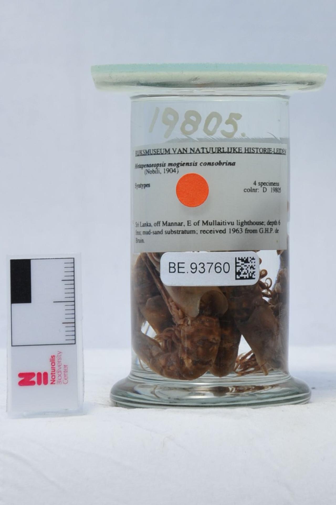 RMNH.CRUS.D.19805 | Metapenaeopsis mogiensis consobrina (Nobili, 1904)