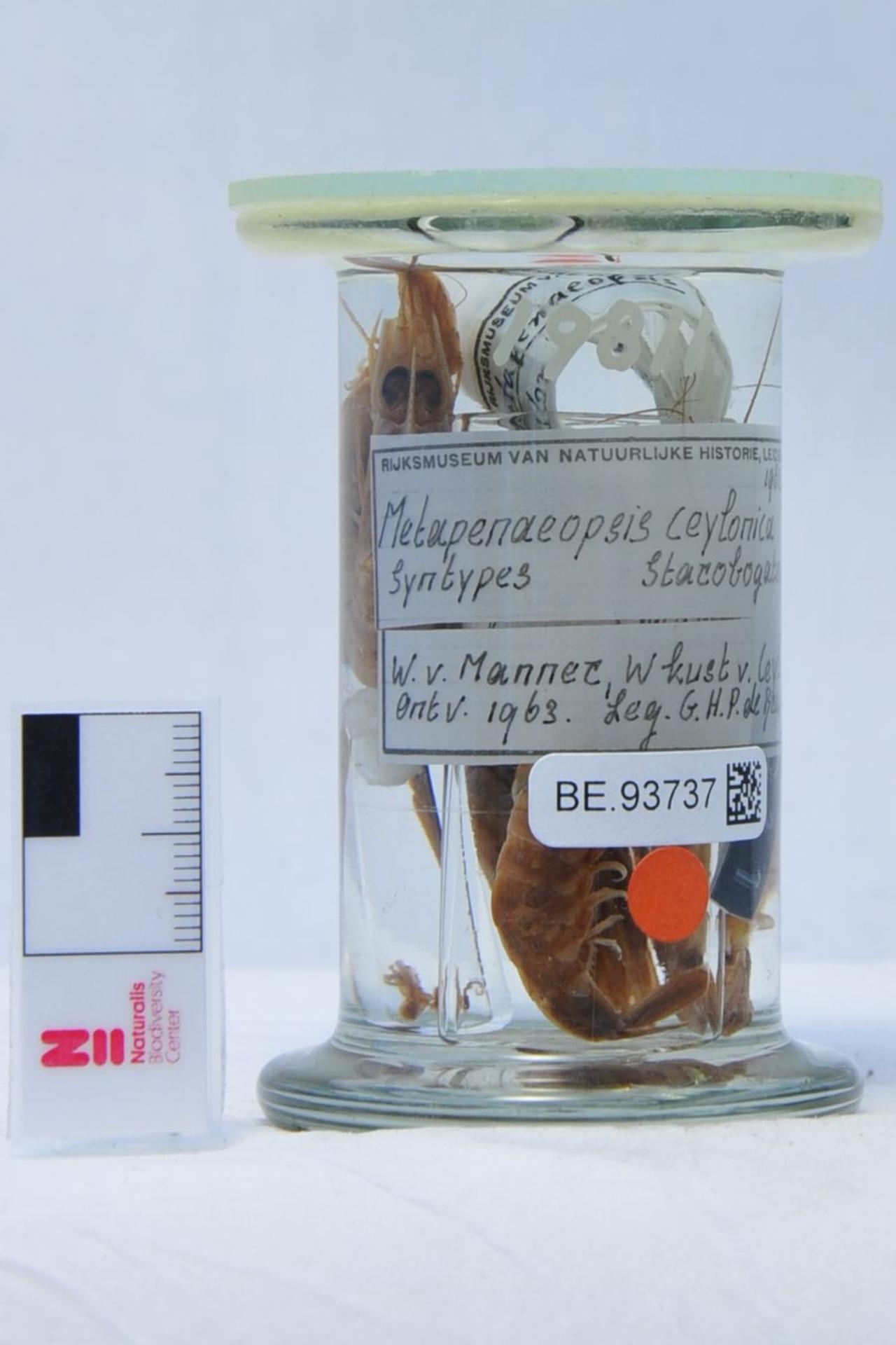 RMNH.CRUS.D.19811 | Metapenaeopsis ceylonica Starobogatov, 1972