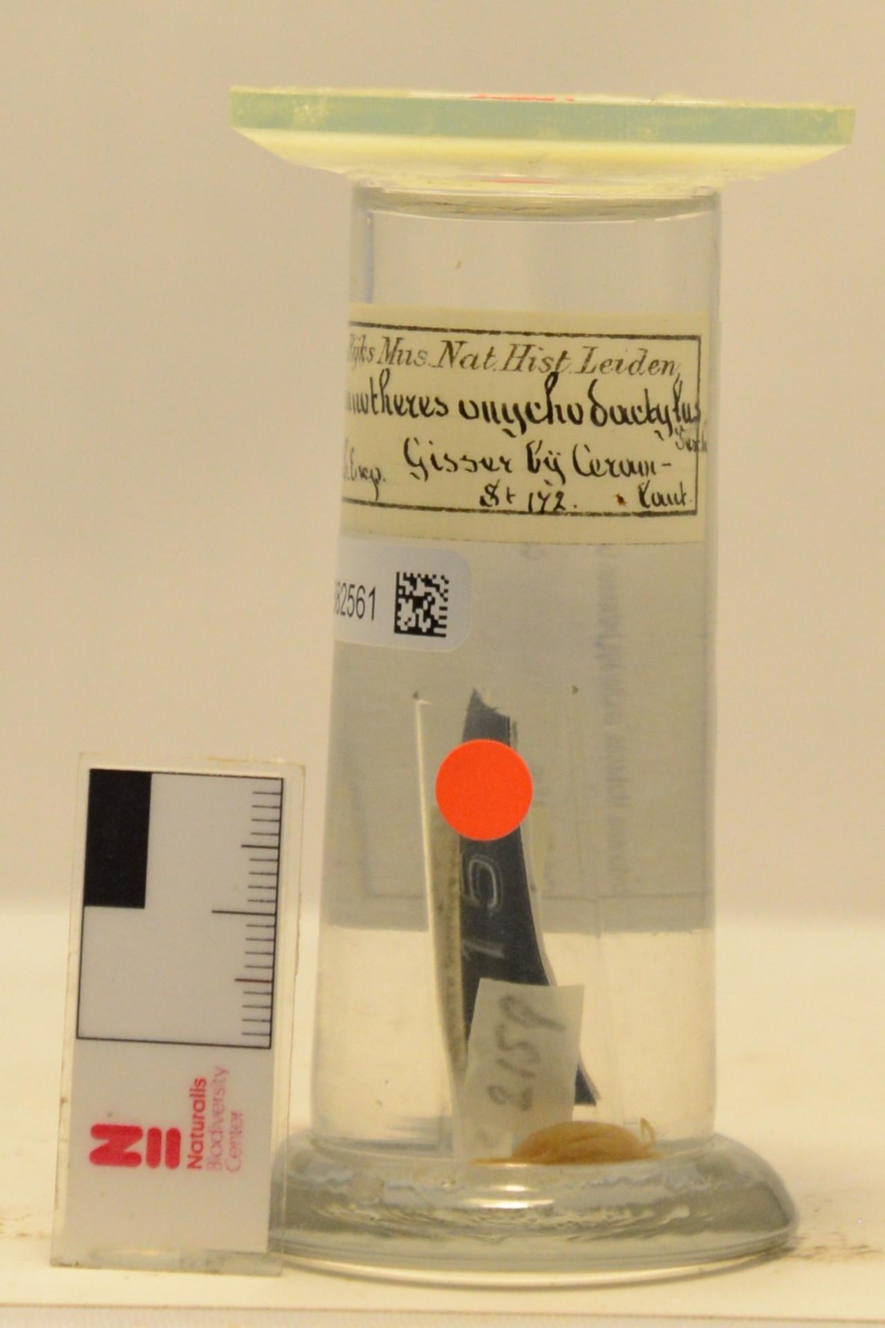 RMNH.CRUS.D.2159 | Pinnotheres onychodactylus Tesch, 1918