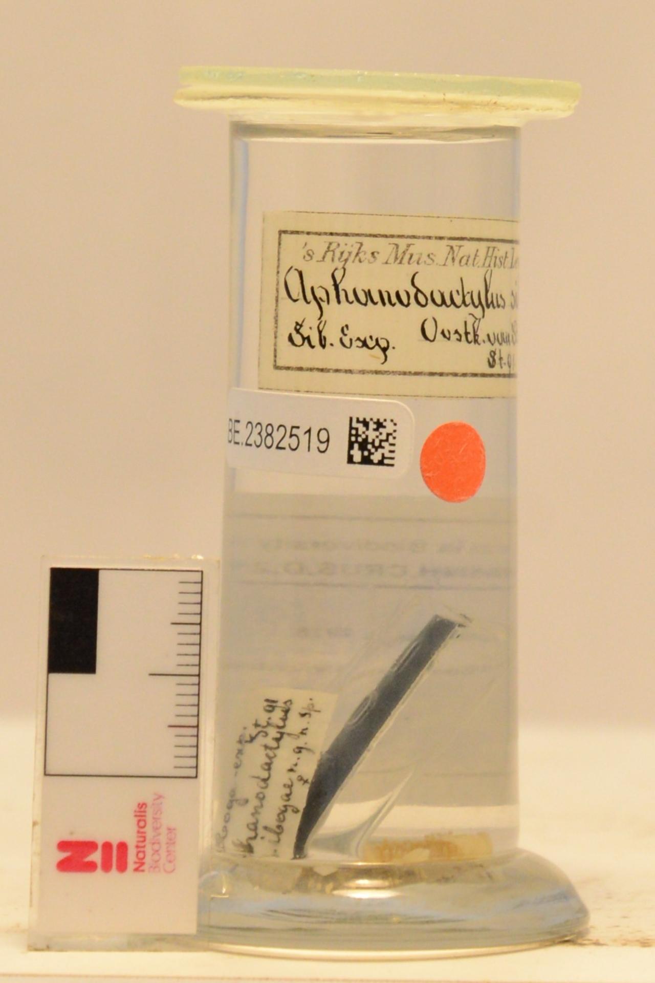RMNH.CRUS.D.2162 | Aphanodactylus sibogae Tesch, 1918