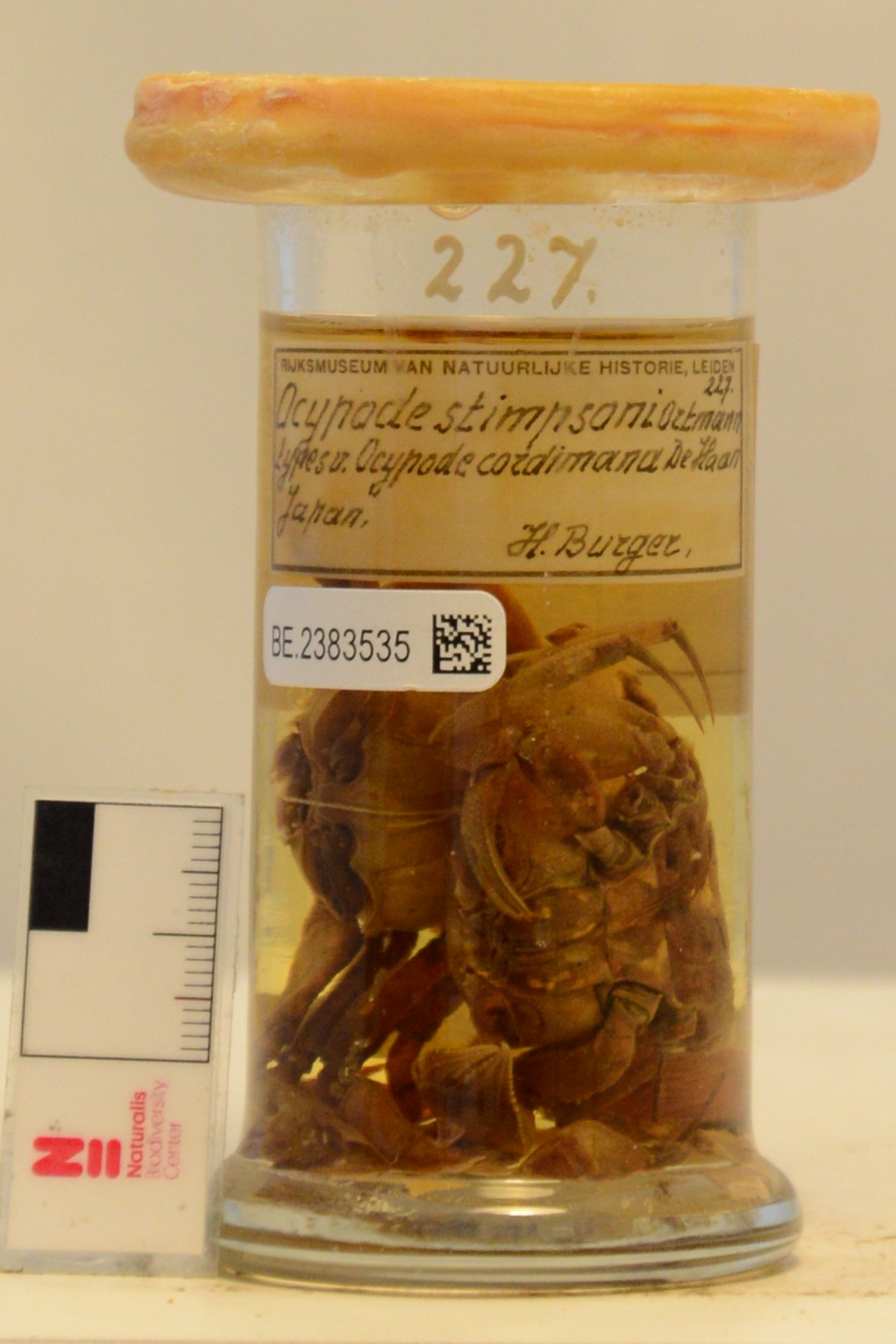 RMNH.CRUS.D.227 | Ocypode stimpsoni Ortmann, 1897