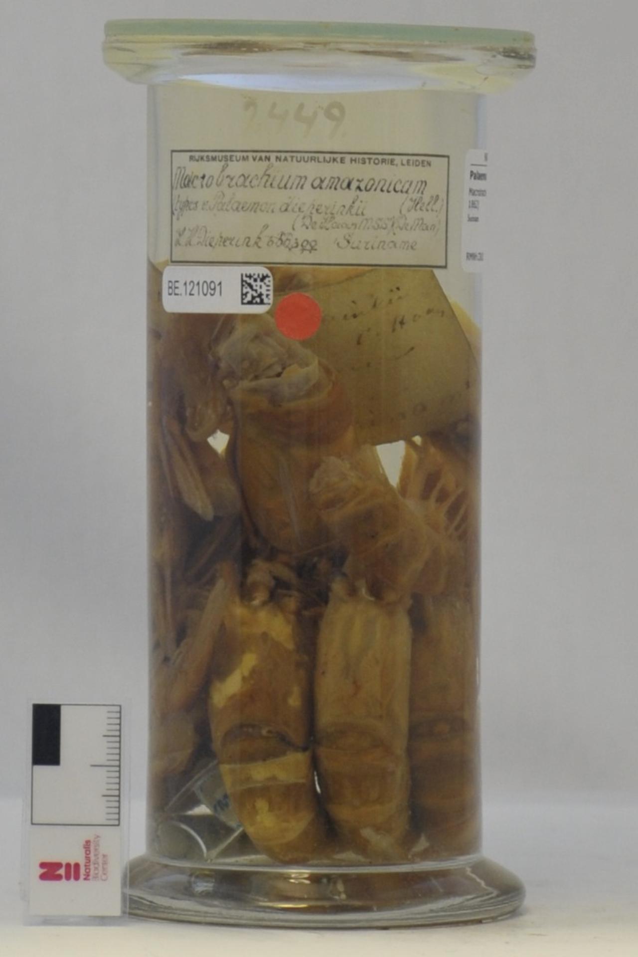 RMNH.CRUS.D.2449   Macrobrachium amazonicum (Heller, 1862)