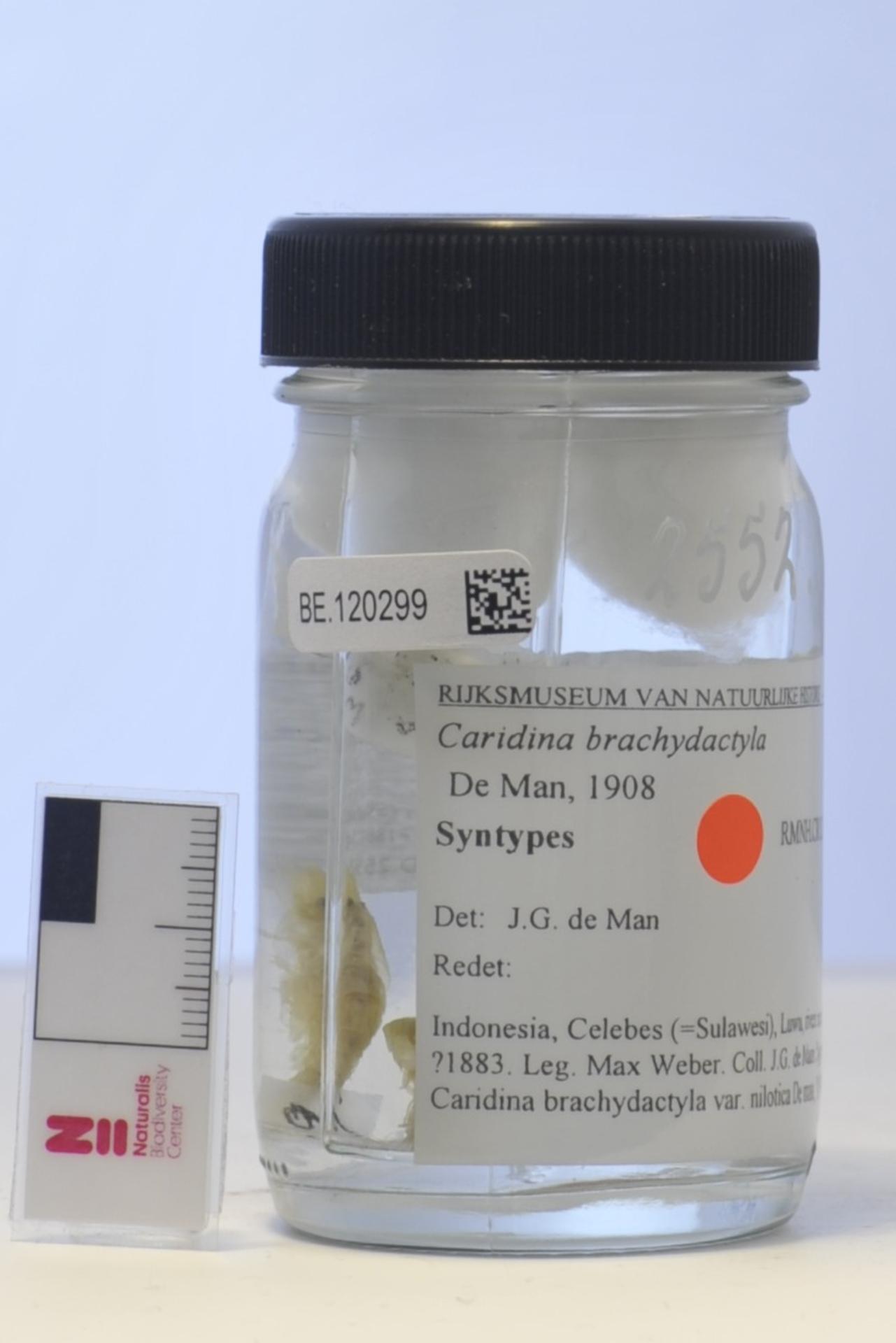 RMNH.CRUS.D.2552 | Caridina brachydactyla De Man, 1908