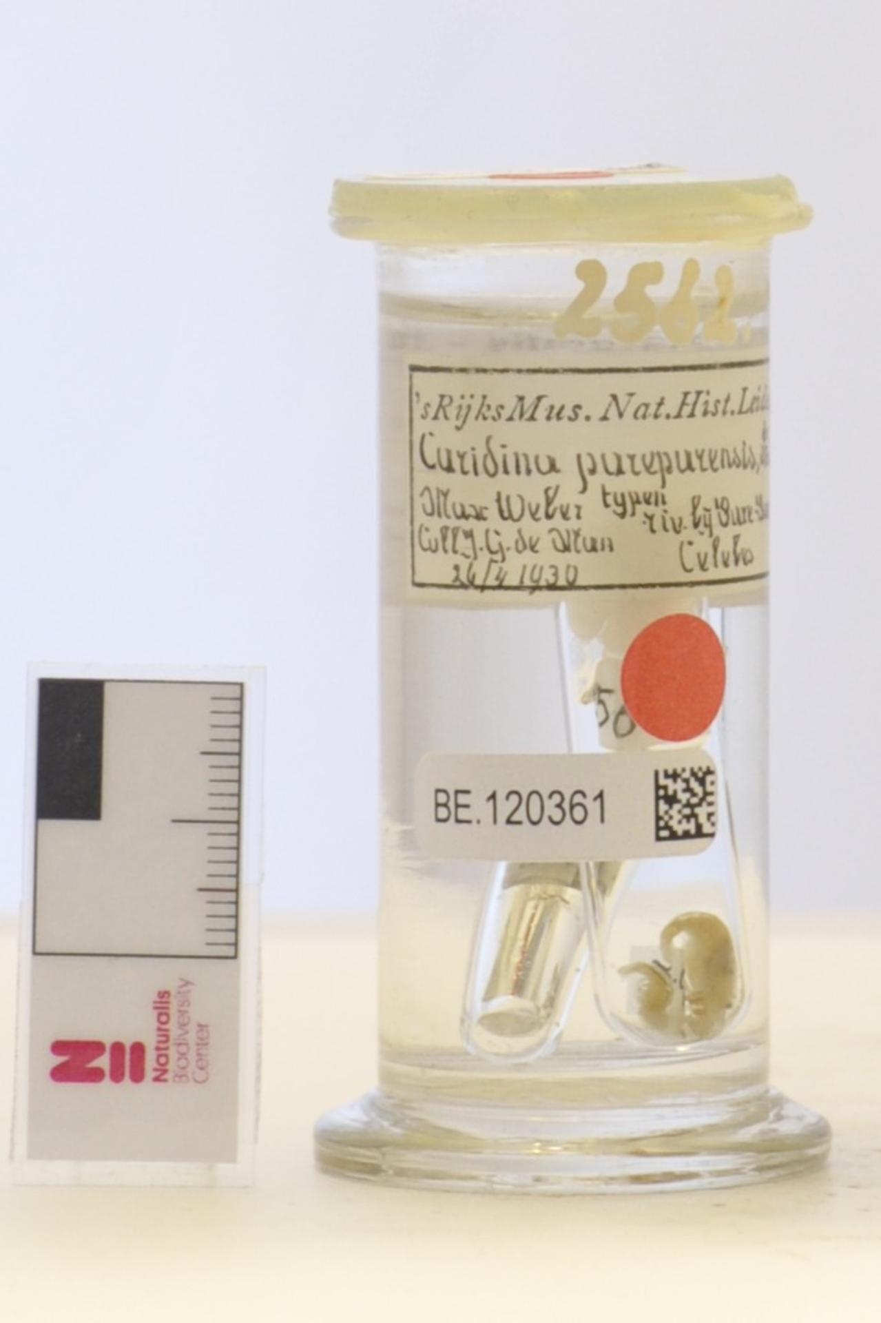 RMNH.CRUS.D.2562 | Caridina pareparensis De Man, 1892
