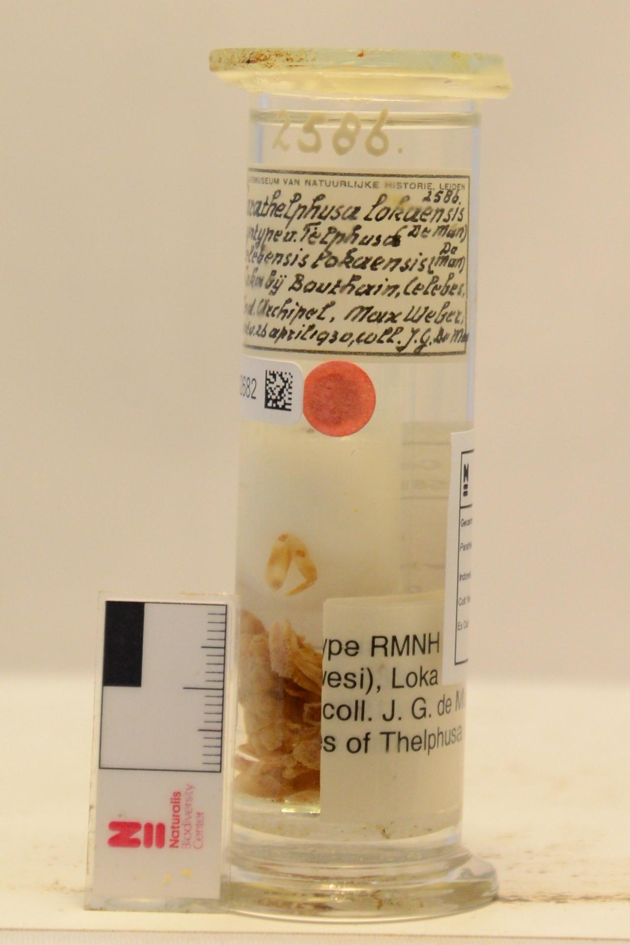 RMNH.CRUS.D.2586 | Parathelphusa lokaensis (De Man, 1892)