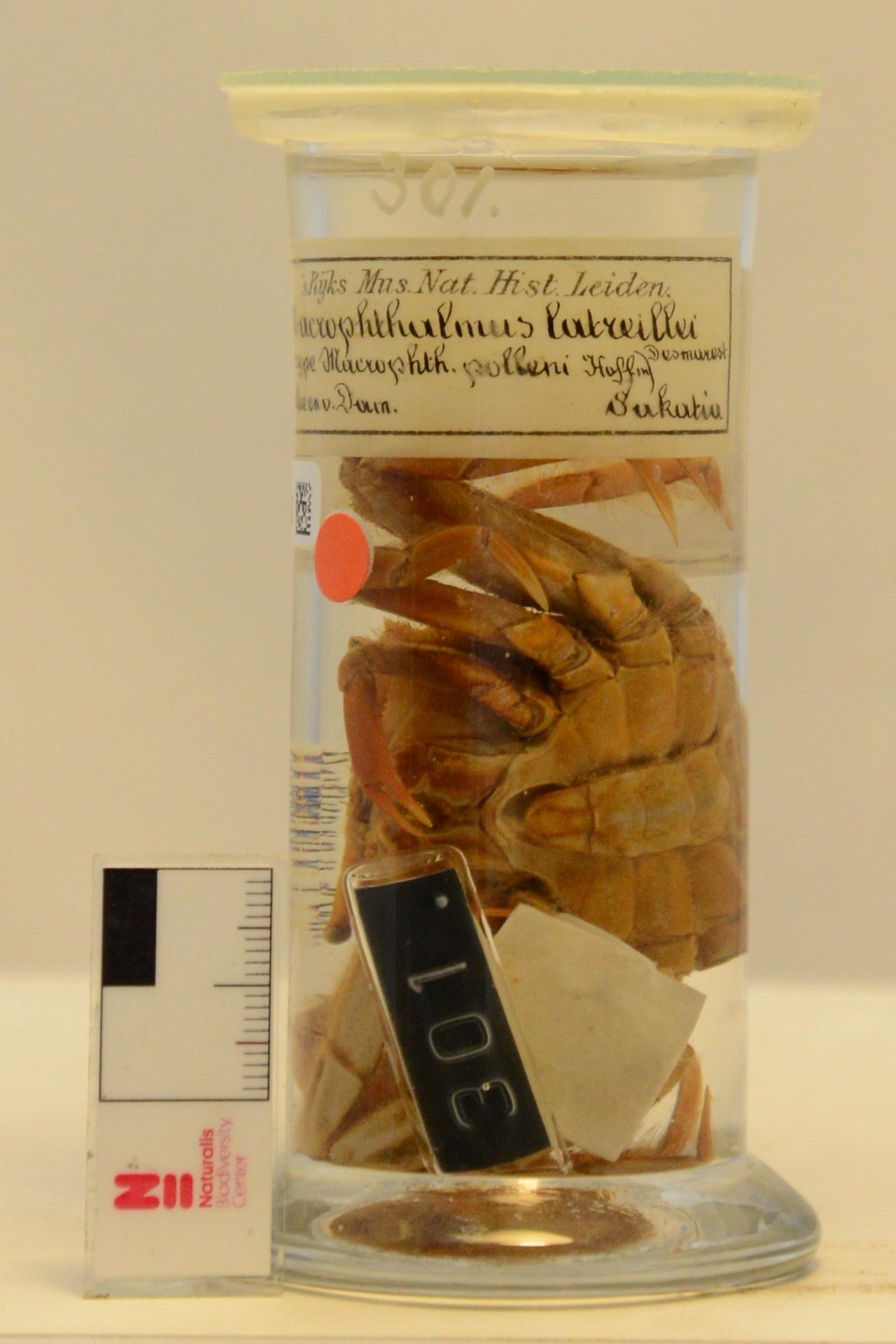 RMNH.CRUS.D.301 | Macrophthalmus (Venitus) latreillei (Desmarest, 1822)