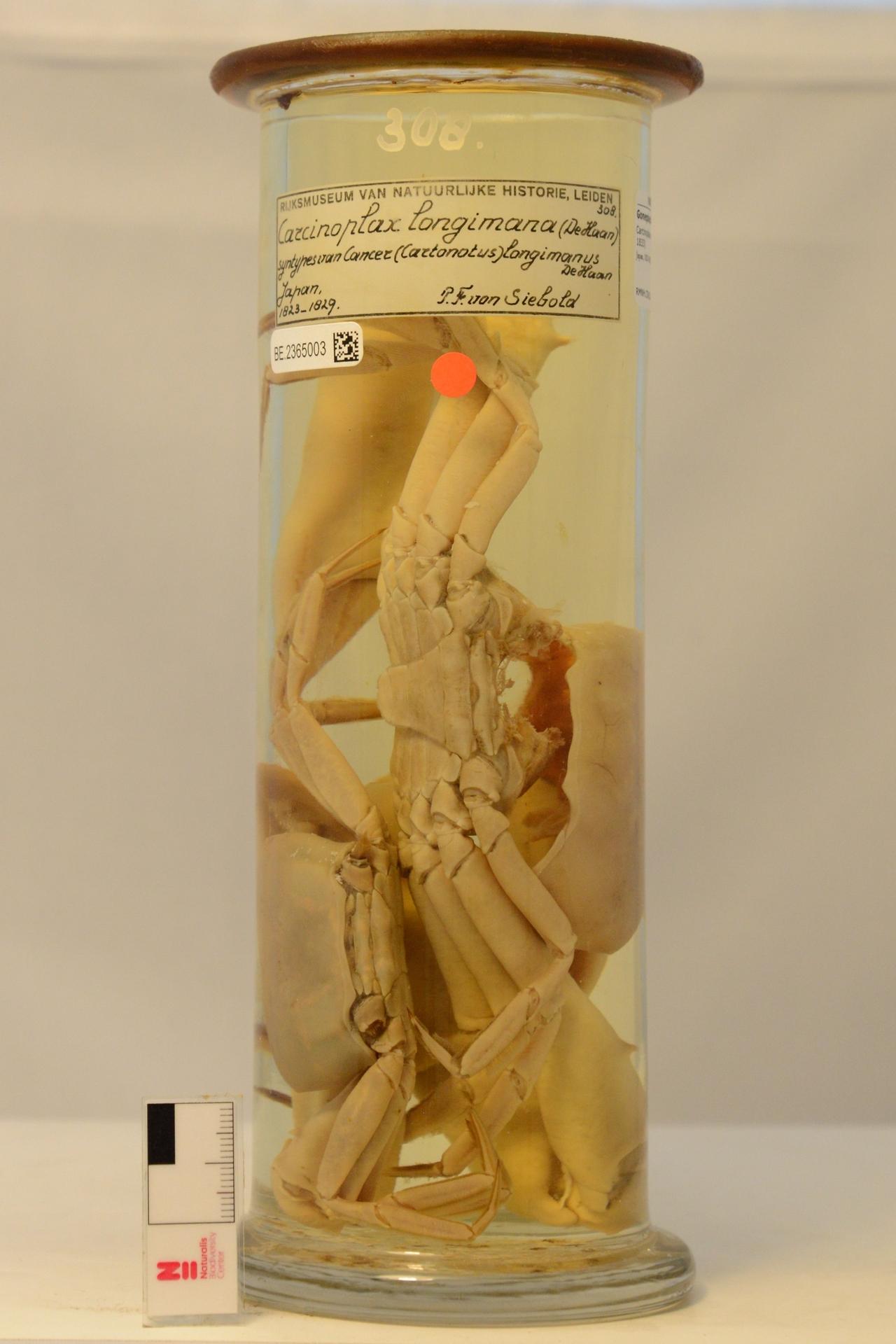 RMNH.CRUS.D.308   Carcinoplax longimanus (De Haan, 1833)