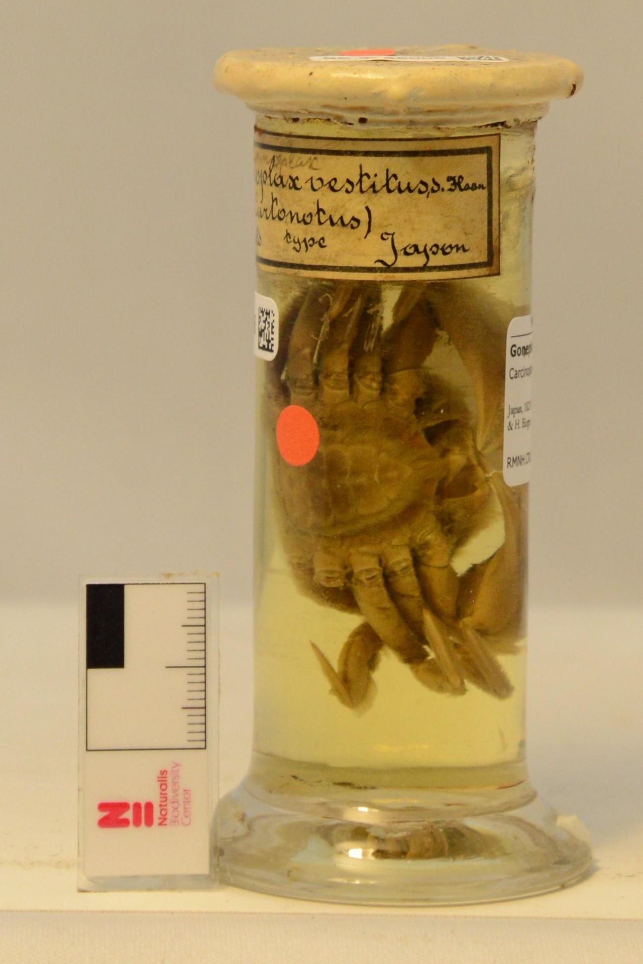 RMNH.CRUS.D.311   Carcinoplax vestitus (De Haan, 1833)