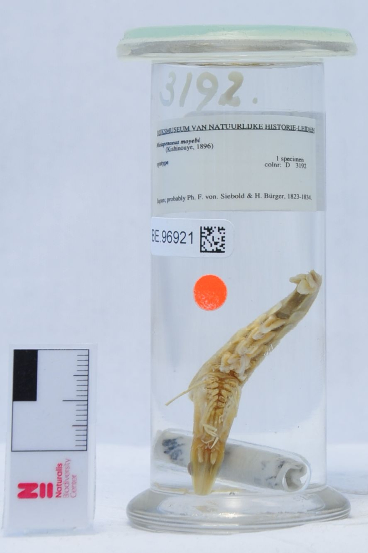 RMNH.CRUS.D.3192 | Metapenaeus moyebi (Kishinouye, 1896)