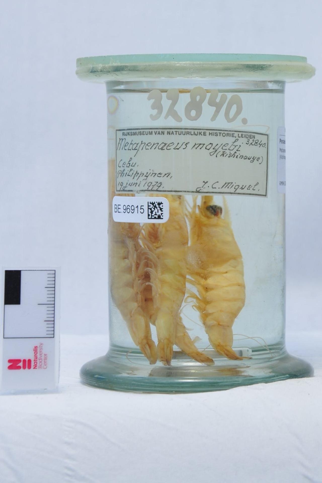 RMNH.CRUS.D.32840   Metapenaeus moyebi (Kishinouye,1896)
