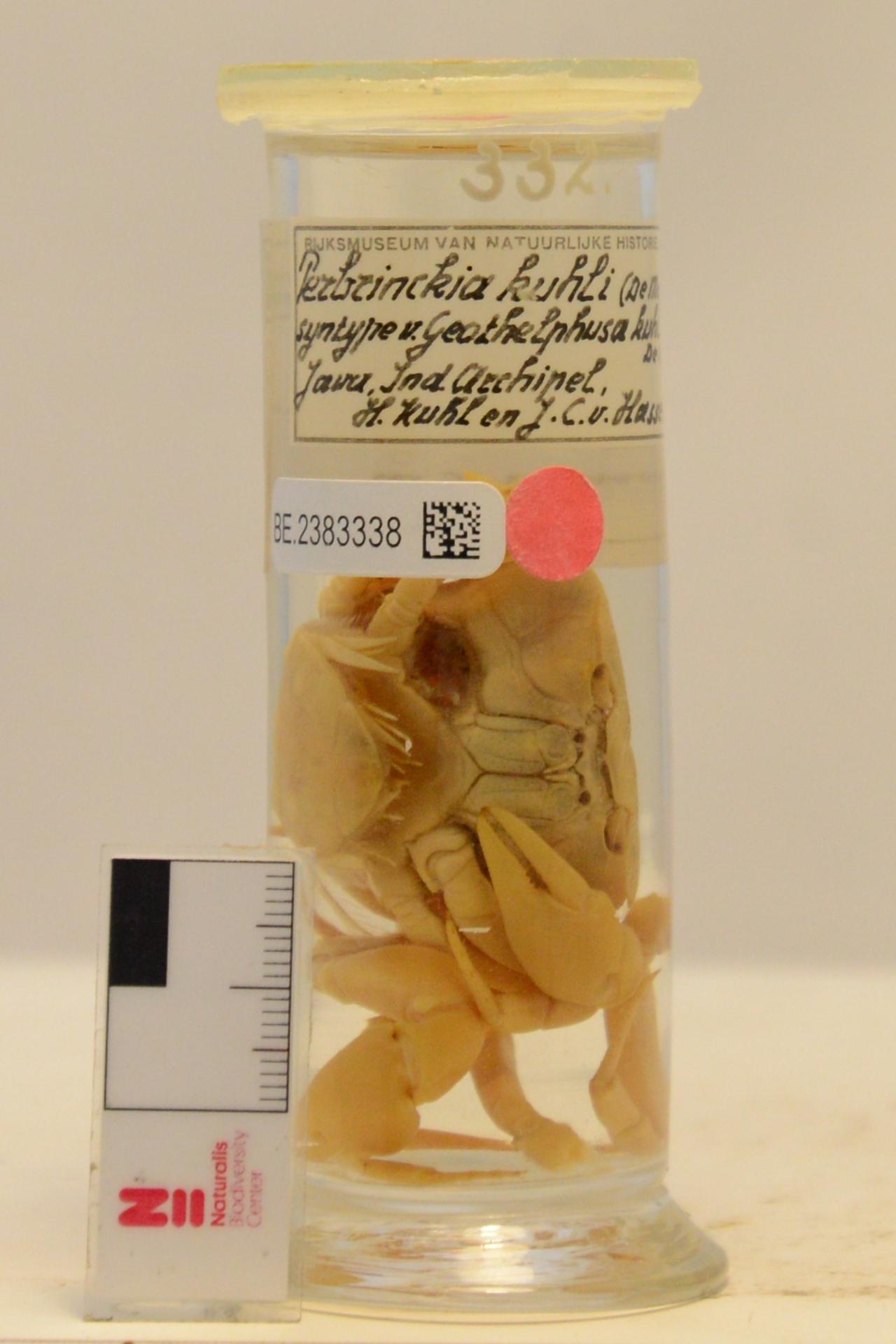 RMNH.CRUS.D.332 | Perbrinckia kuhli (De Man, 1883)