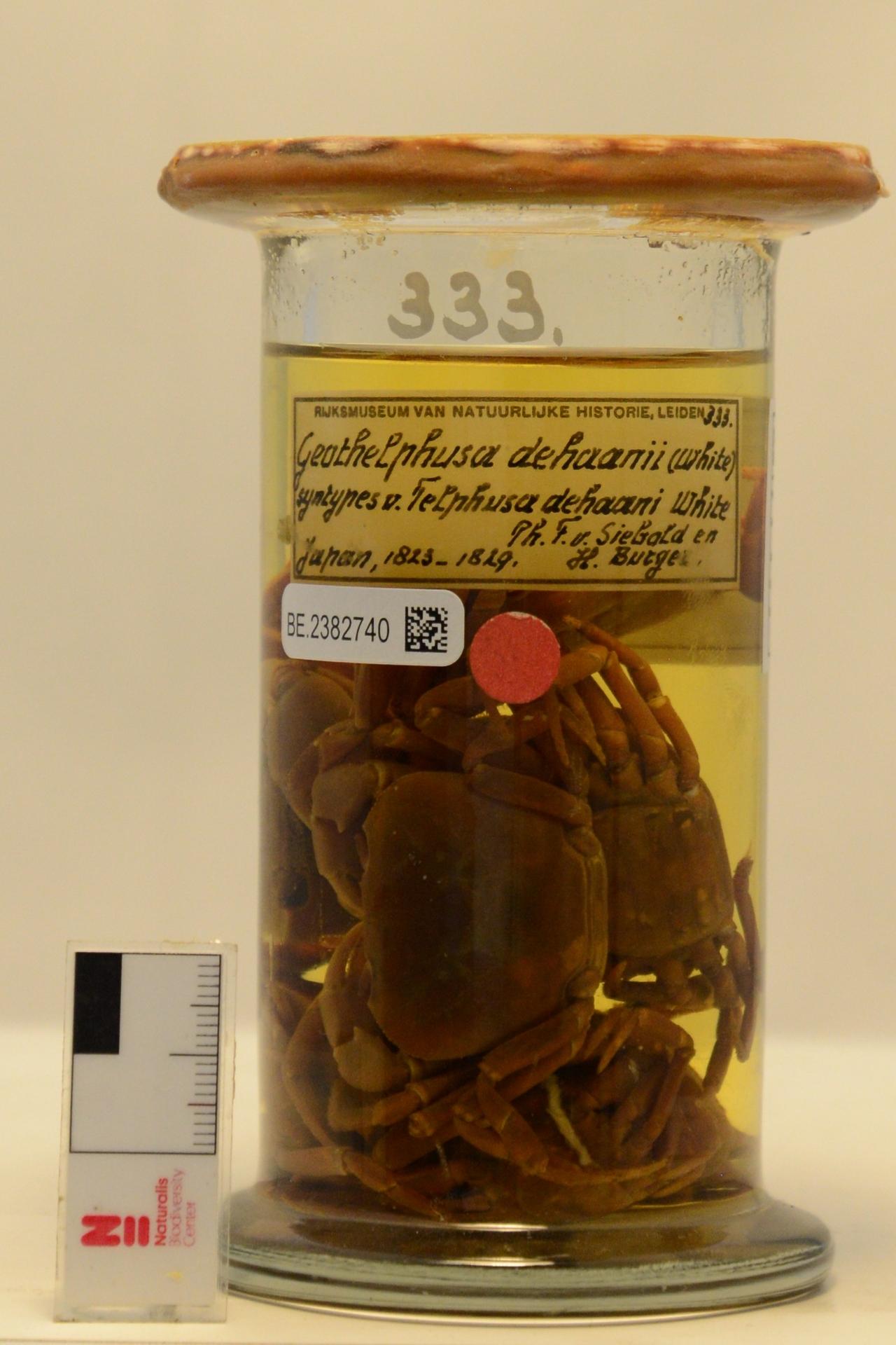 RMNH.CRUS.D.333   Geothelphusa dehaani (White, 1847)