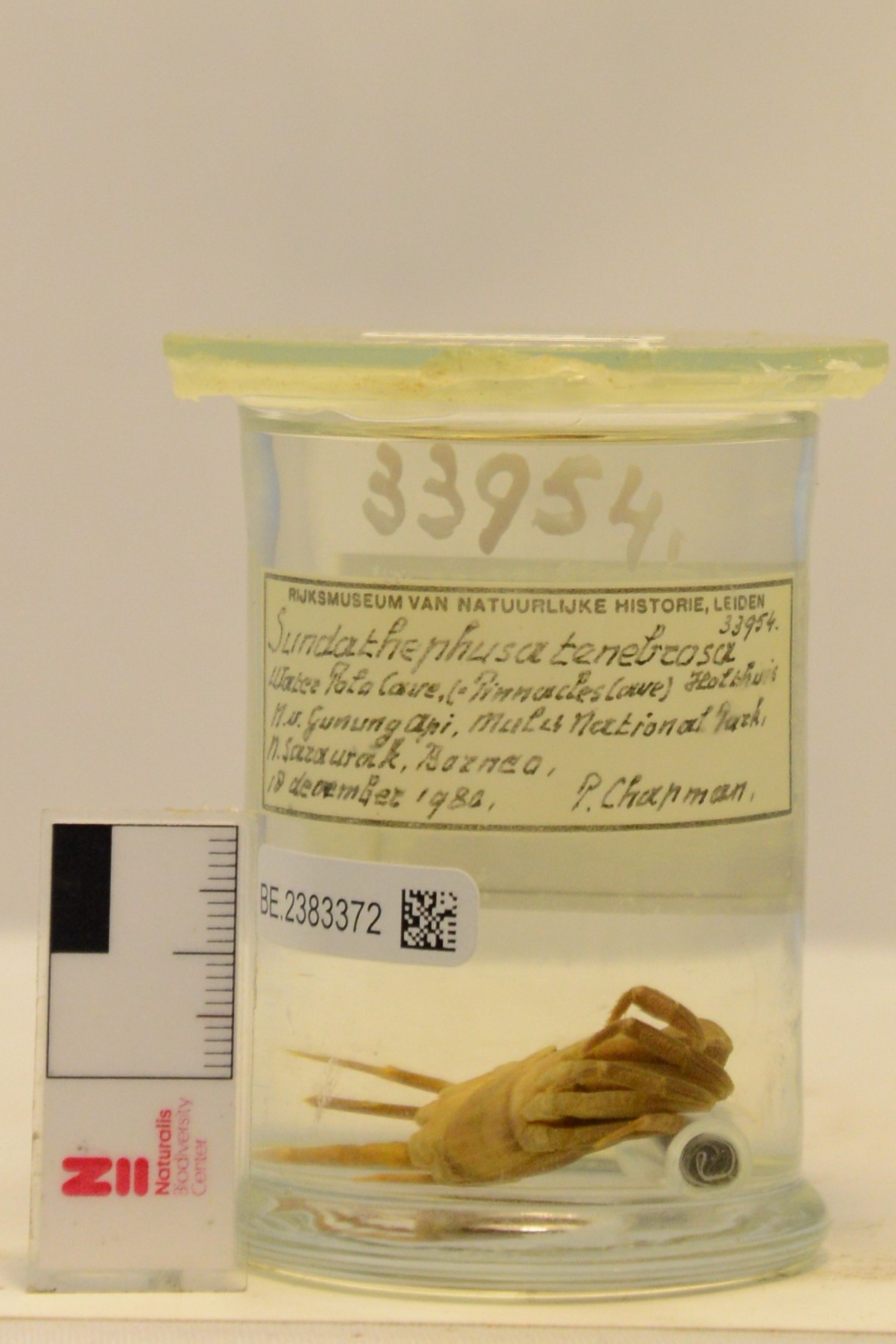RMNH.CRUS.D.33954   Sundathelphusa tenebrosa Holthuis, 1979